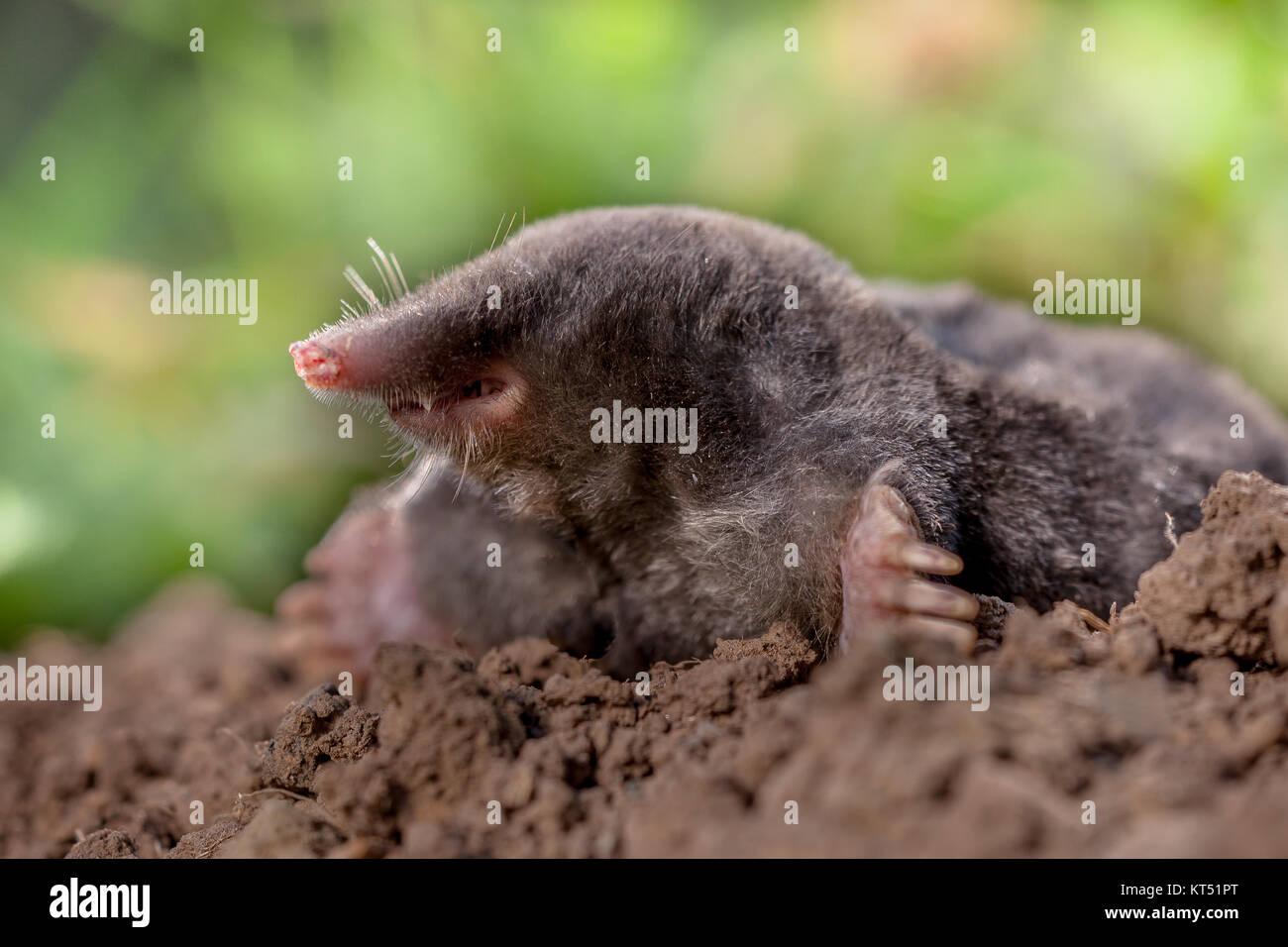 European mole Mole commune ou c'est un mammifère de l'ordre Soricomorpha Photo Stock