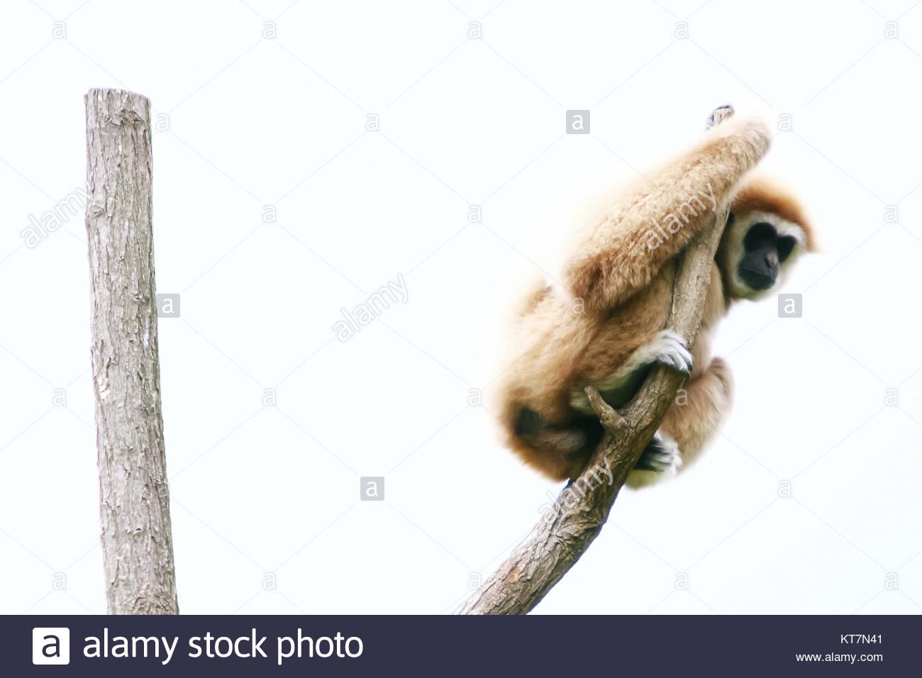 .Gibbons sur l'arbre Photo Stock