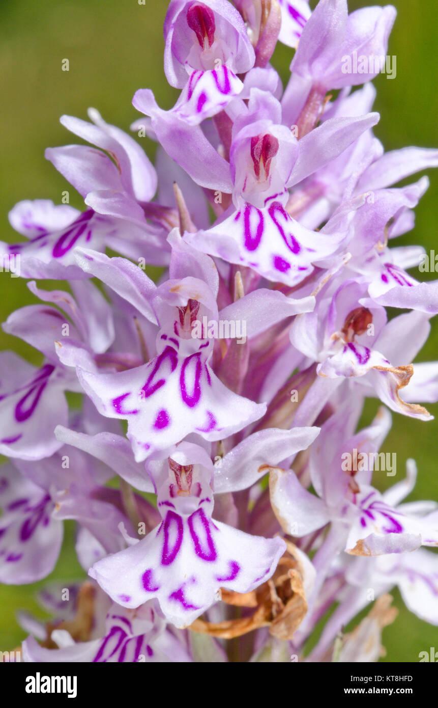 Lettres, initiales et monogrammes sur Fleurs sauvages - Monogrammé repéré commun Orchid (Dactylorhiza fuchsii) 'CO'' Banque D'Images