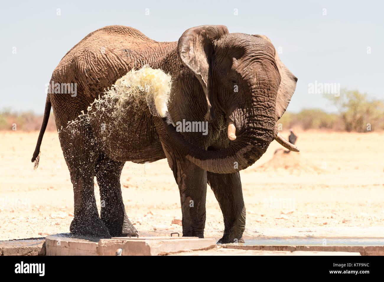 Éléphant mâle grand opérateur arrose sur lui-même pour se rafraîchir à un point Photo Stock