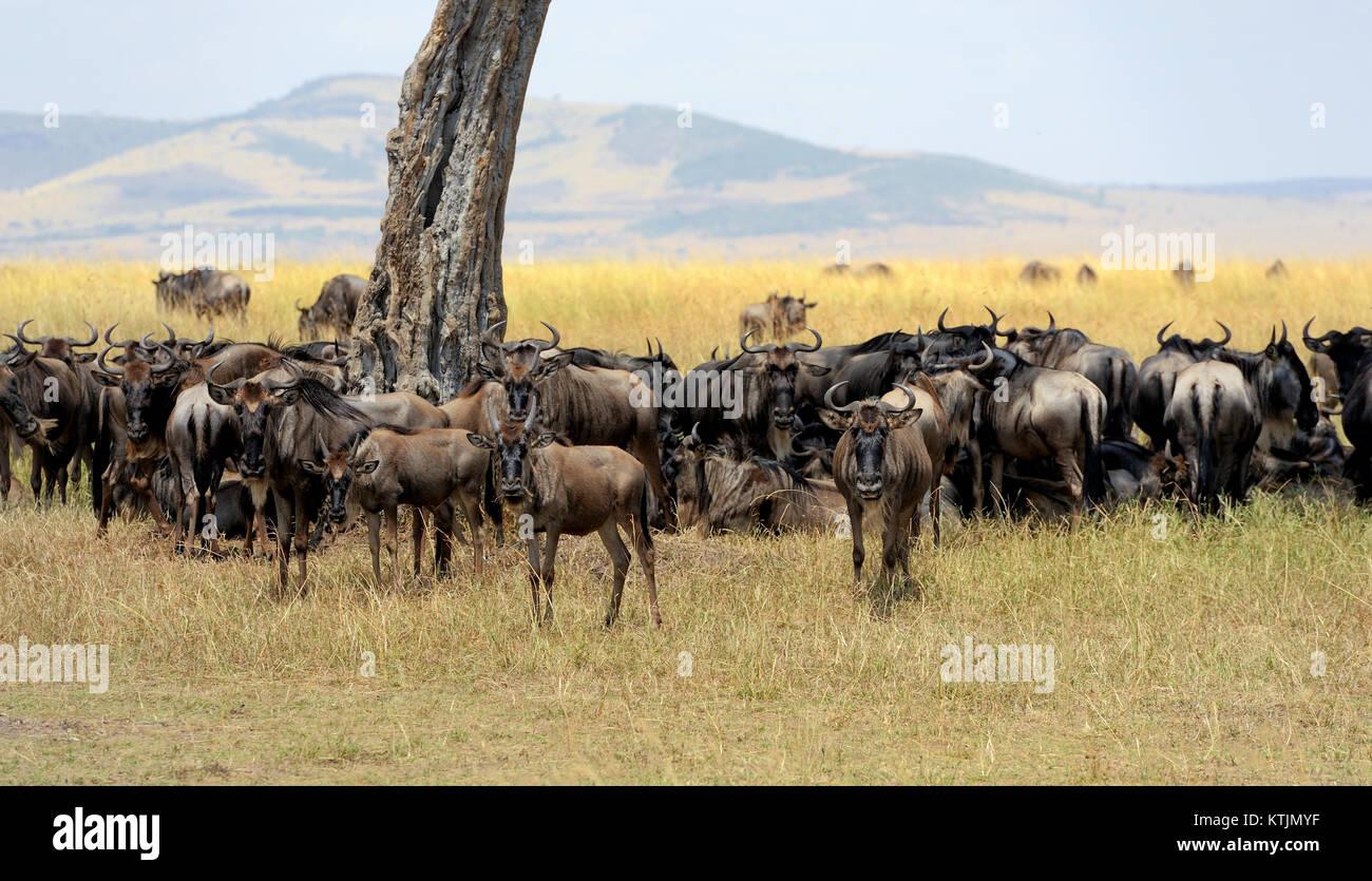 Les gnous dans la savane, le parc national du Kenya, Afrique Photo Stock