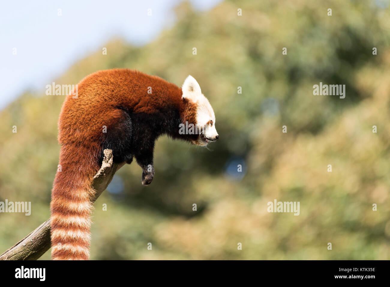 Le panda rouge dans un arbre Photo Stock