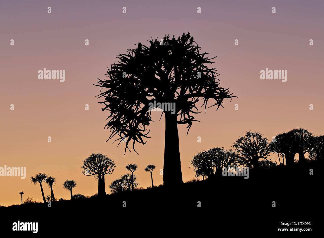 Arbre carquois (Kokerboom (Aloe dichotoma)) 17 Dysart Road,, Namakwa, Namaqualand, Afrique du Sud, l'Afrique Photo Stock