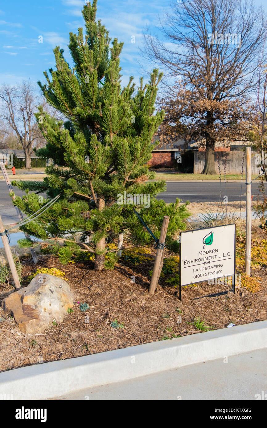 Un pin sylvestre ou le pin sylvestre, Pinus sylvestris, jeune arbre dans un environnement urbain, l'aménagement Photo Stock
