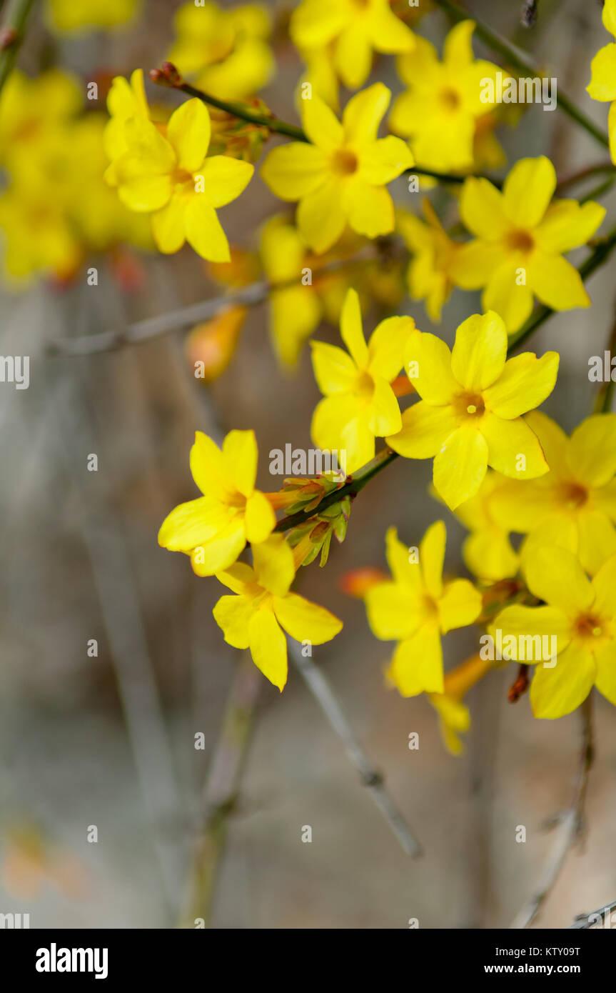 jasmin d'hiver jasminum nudiflorum arbuste à feuilles caduques ou