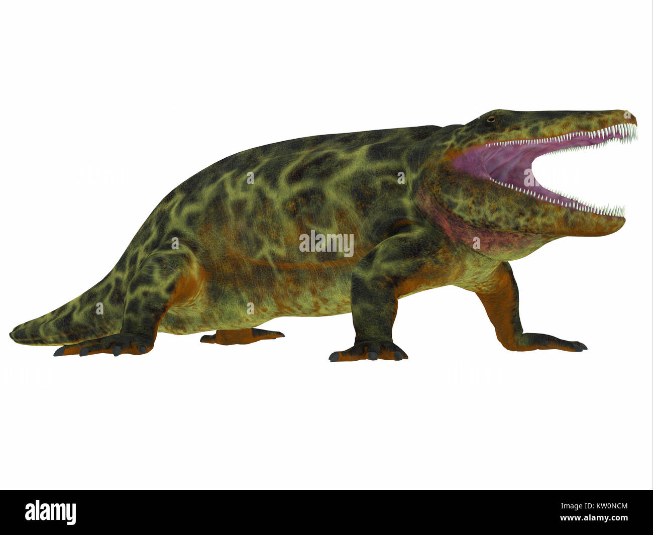 Eryops était un prédateur sauvage semi-aquatiques comme le crocodile moderne et a vécu au Texas, Nouveau Mexique et l'Est des États-Unis dans la période permienne. Banque D'Images