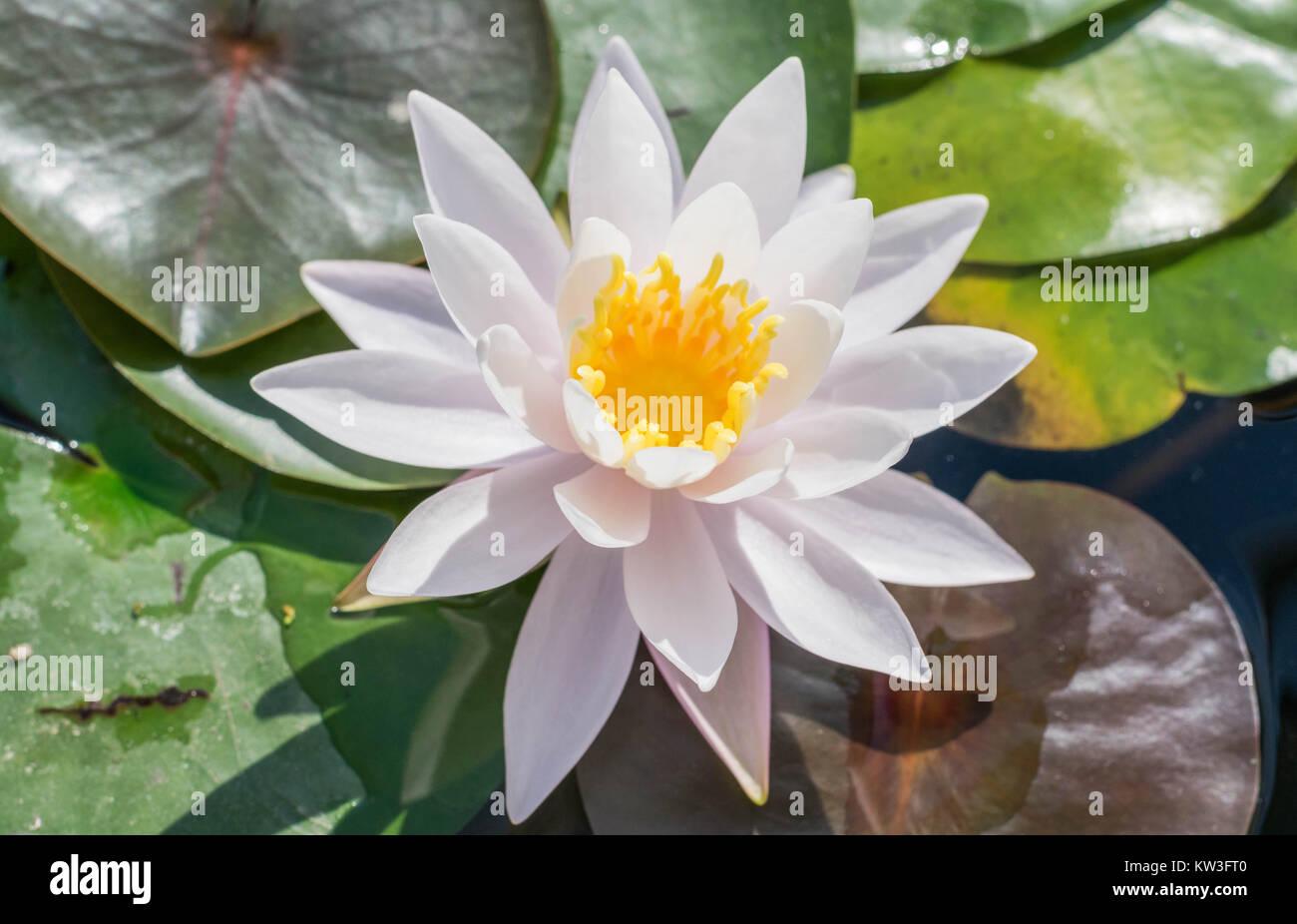 de pr s la fleur de lotus blanc isol avec un centre. Black Bedroom Furniture Sets. Home Design Ideas