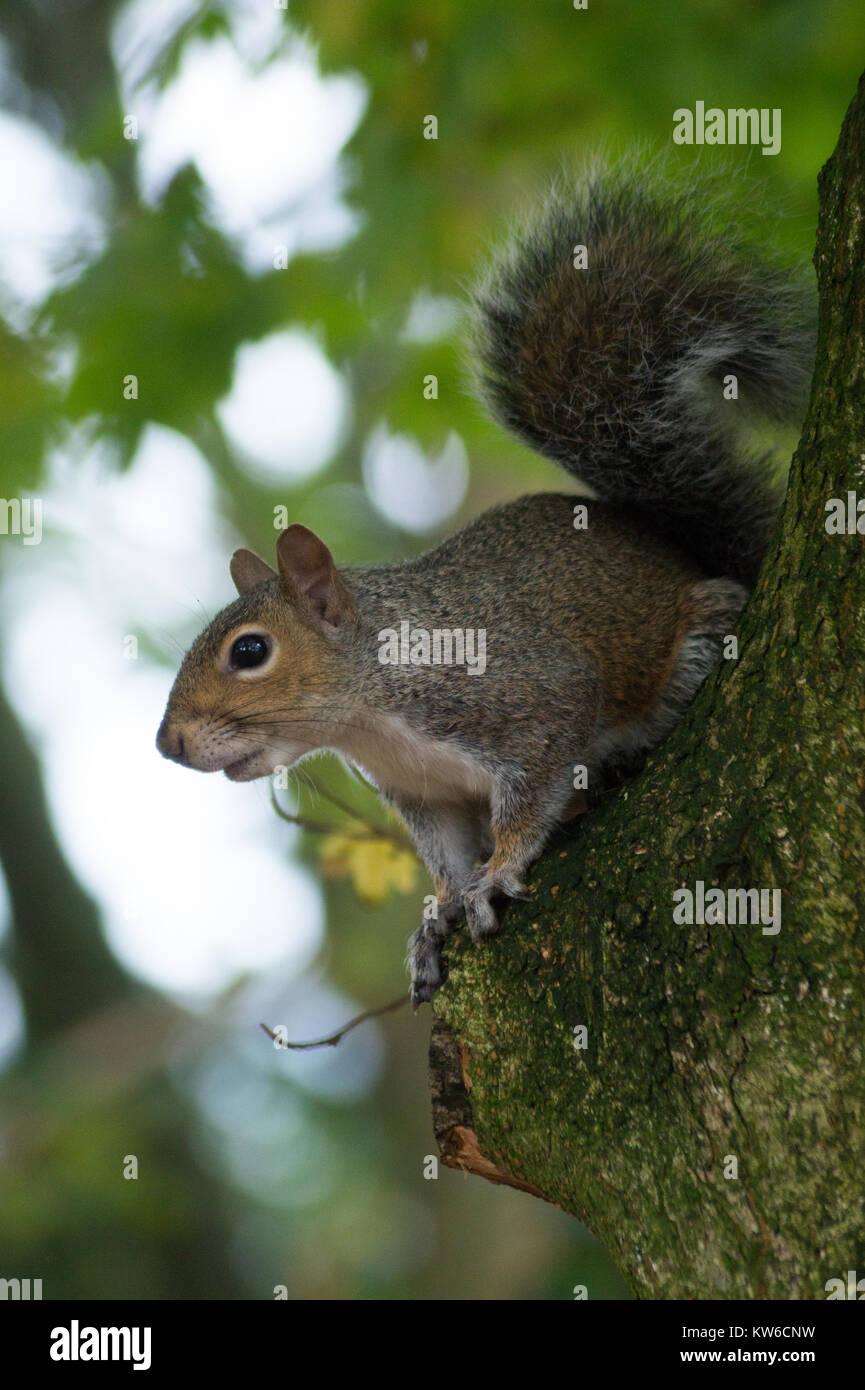 L'écureuil gris dans un bois gallois Photo Stock