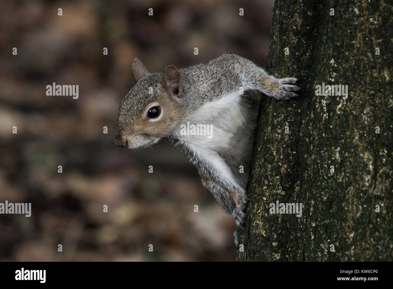 Un écureuil gris sur un arbre dans le pays de Galles UK Photo Stock