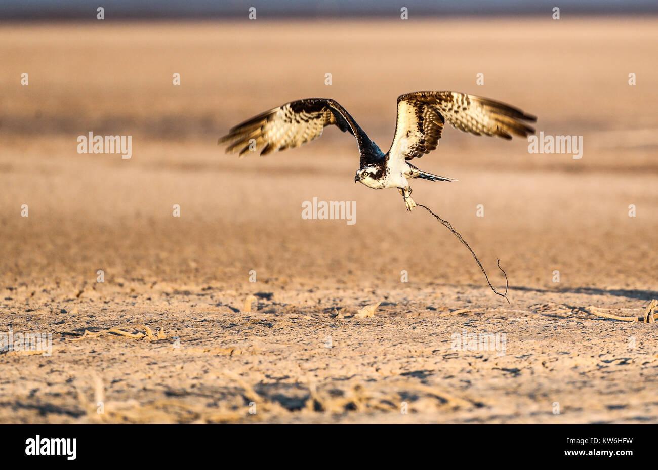 Pêche à la ligne blanche. Ave rapas vu dans son nid construit sur le pôle de la lumière électrique. Photo Stock