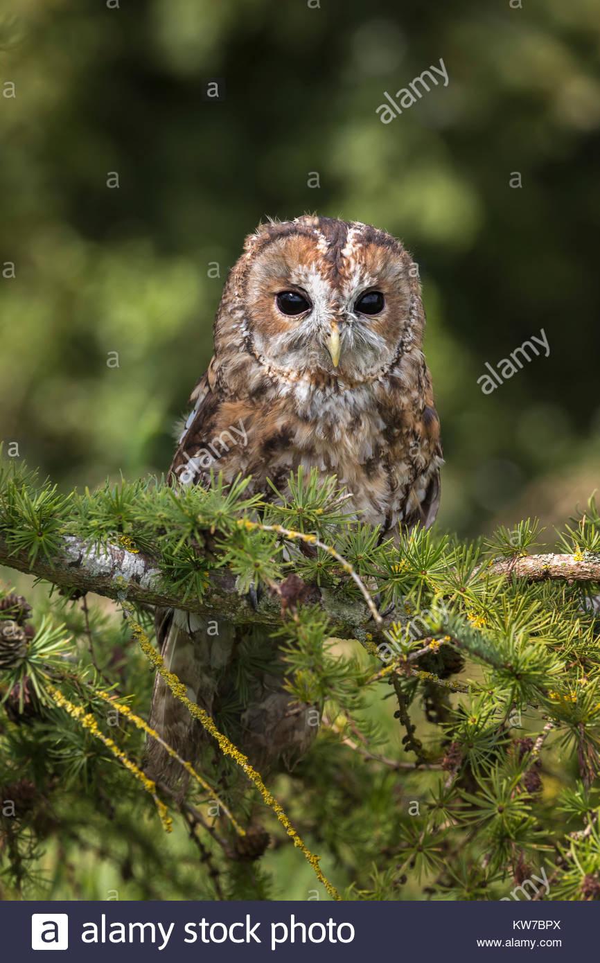 Tawny owl (Strix Aluco enr), Cumbria, Royaume-Uni, Septembre 2017 Photo Stock