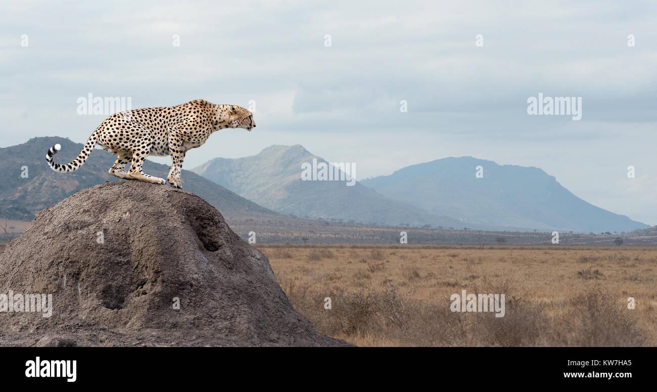 Guépard d'Afrique sauvage, animal mammifère magnifique. L'Afrique, Kenya Banque D'Images