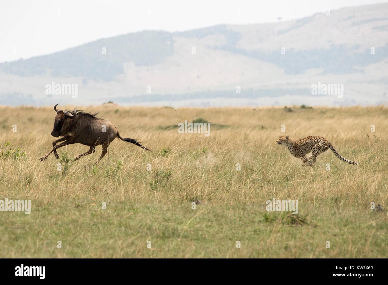 Le Guépard (Acinonyx jubatus) à la poursuite d'un wildebeeste (Gnu, Connochaetes taurinus) Banque D'Images