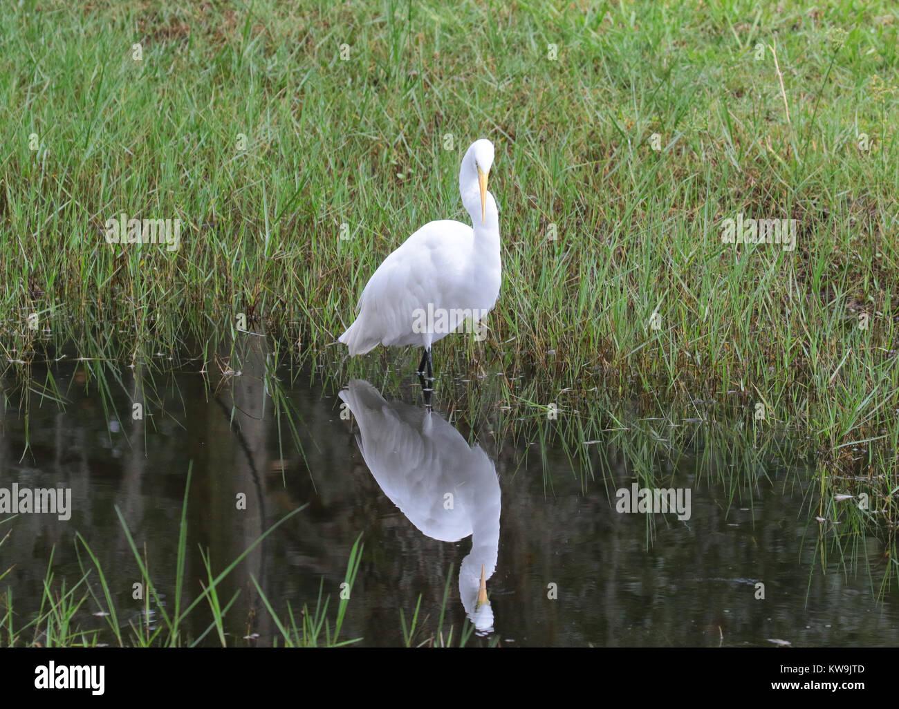 Grande aigrette avec image en miroir dans l'eau reflet Photo Stock