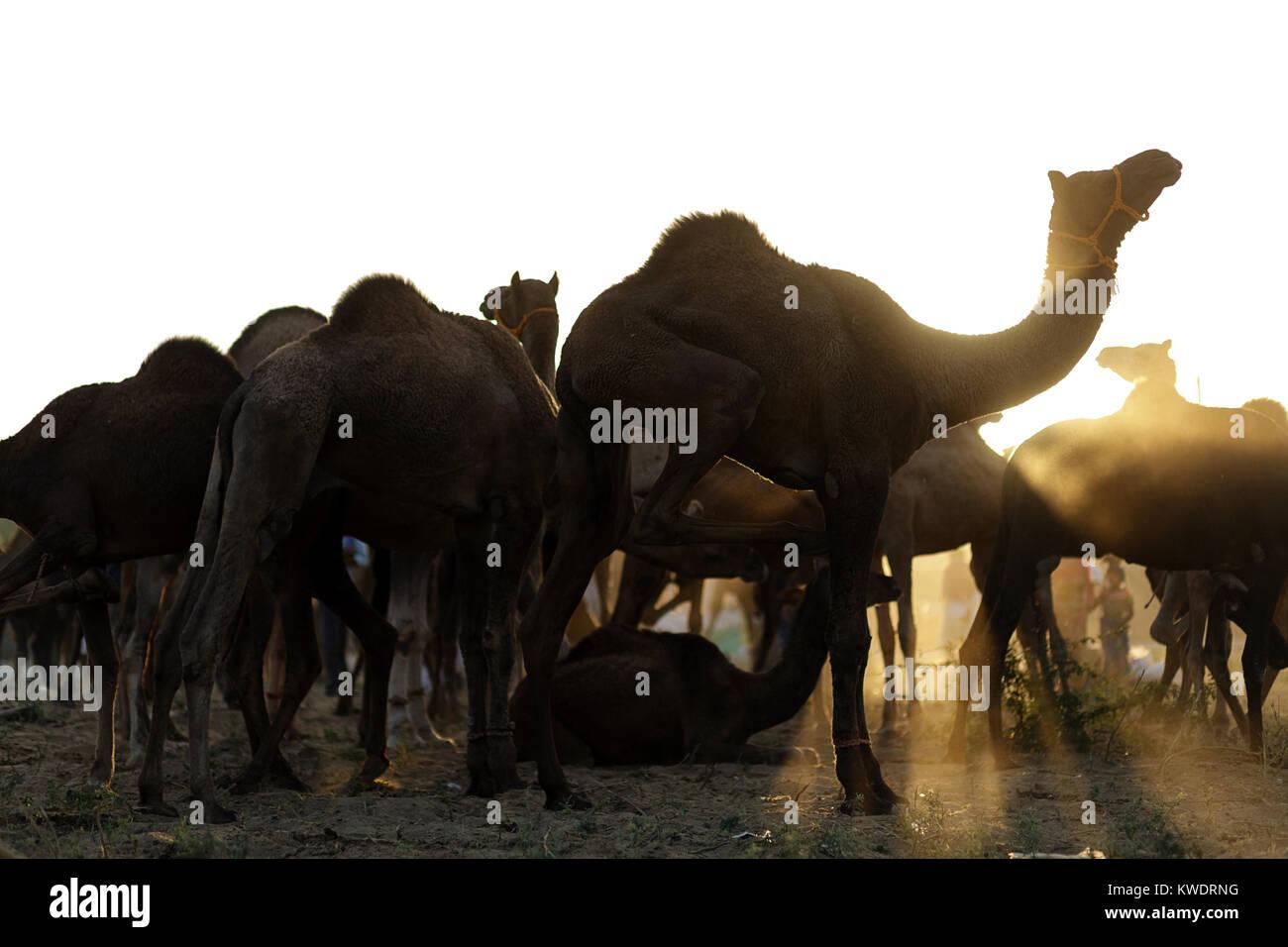 Scène à Pushkar Camel Fair, close-up de troupeau de chameaux avec rayons de soleil derrière eux, Photo Stock