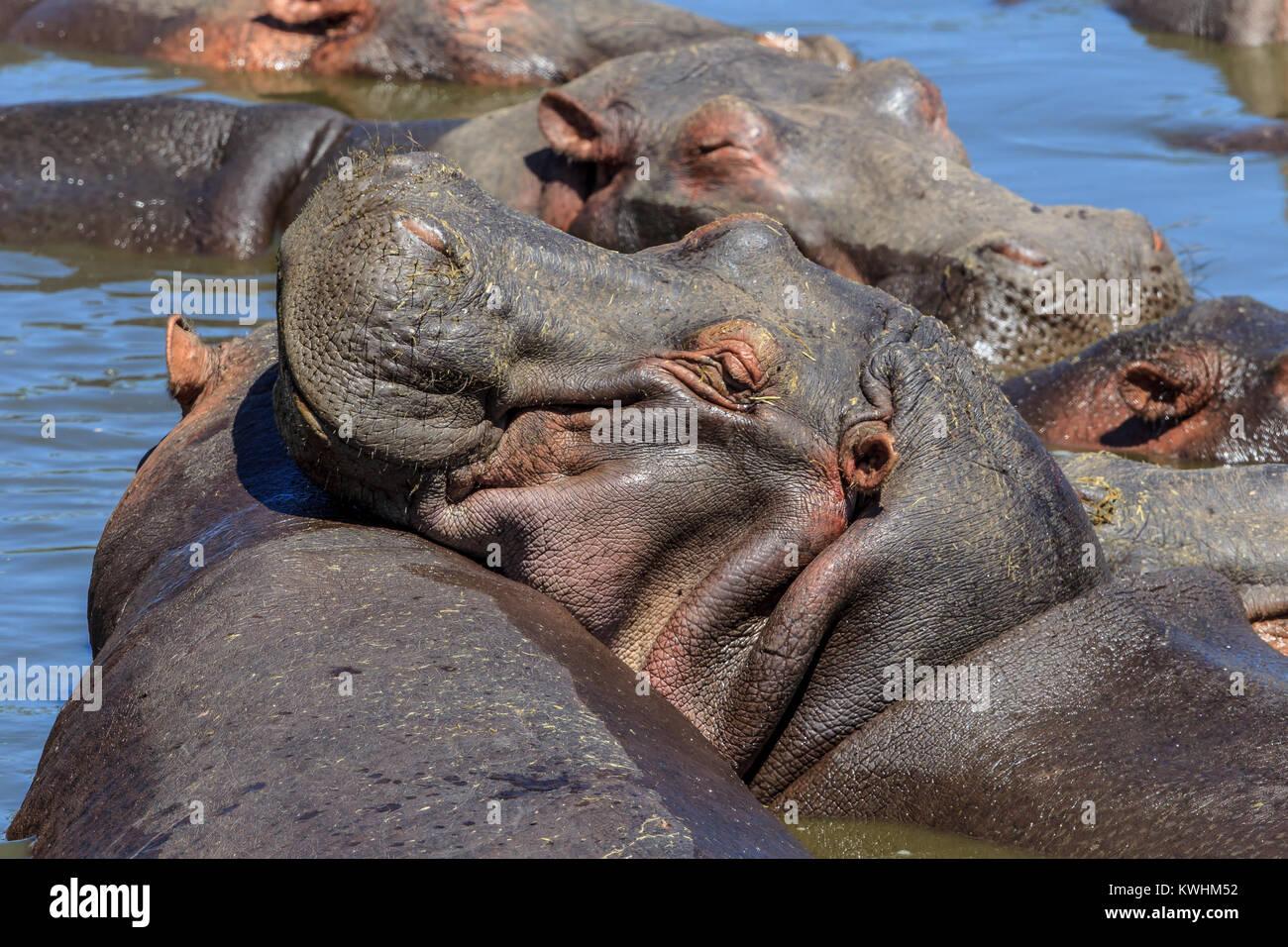 L'hippopotame commun, ou de l'hippopotame, est un grand mammifère herbivore semi-aquatiques, principalement Photo Stock