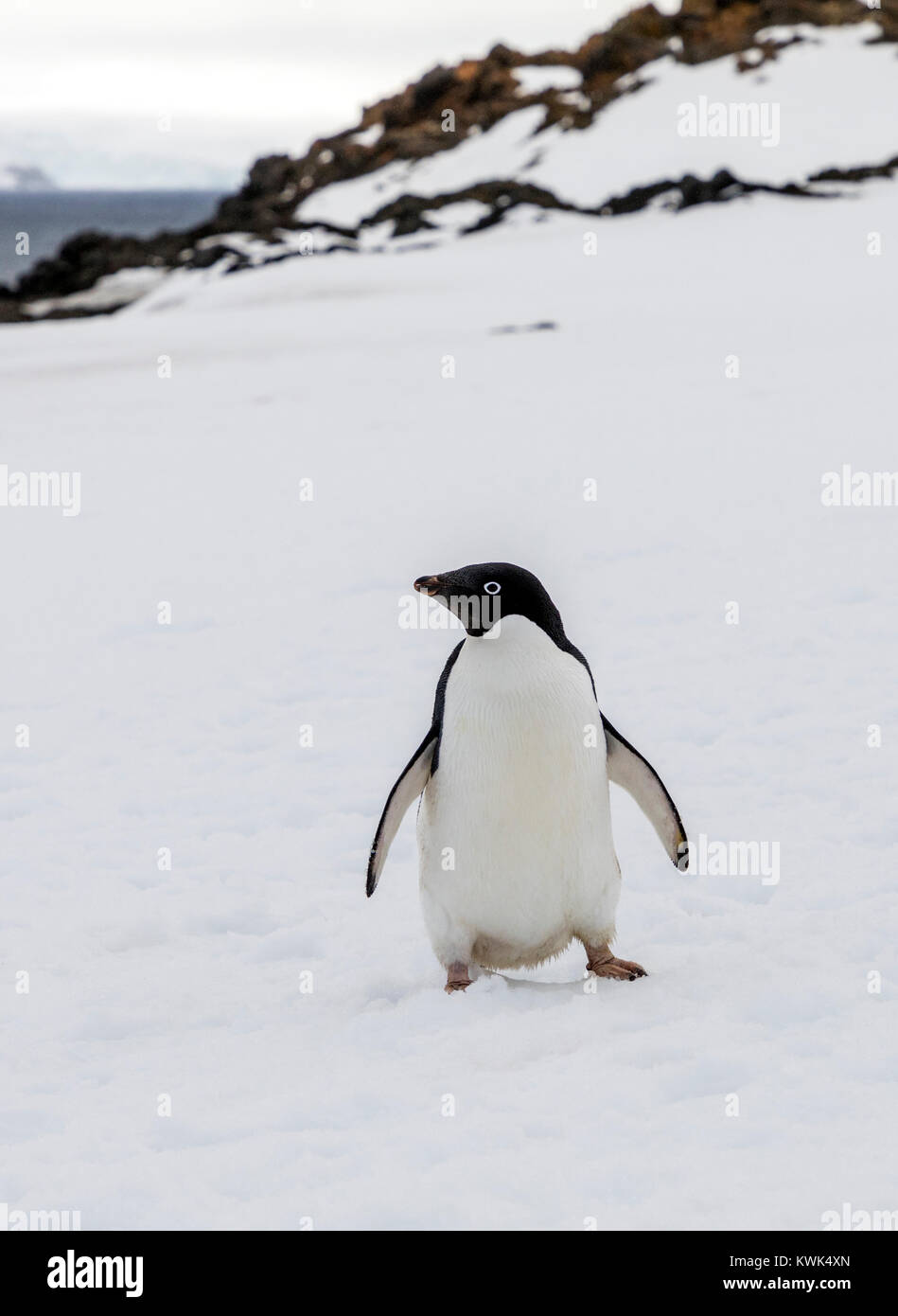 Adélie penguin; Pygoscelis adeliae; Arctowski; Station de recherche polonaise; Photo Stock