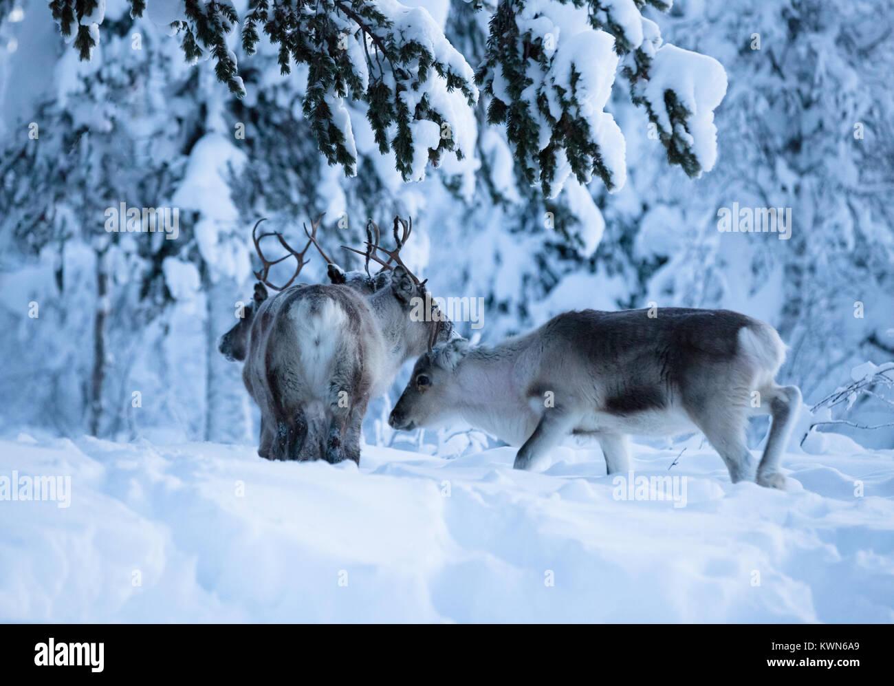 À Rennes recherche d'appât sous la neige. En Laponie suédoise. Photo Stock