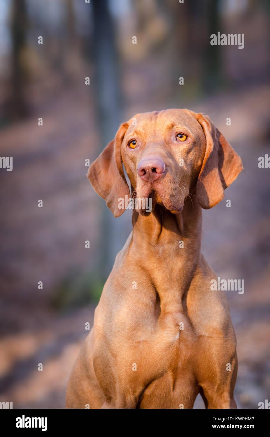 Hound Dog portrain hongrois au milieu de la forêt Photo Stock