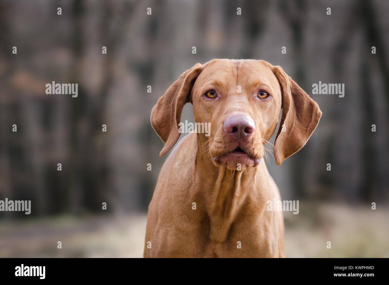 Pointeur hongrois hound dog dans la forêt Photo Stock
