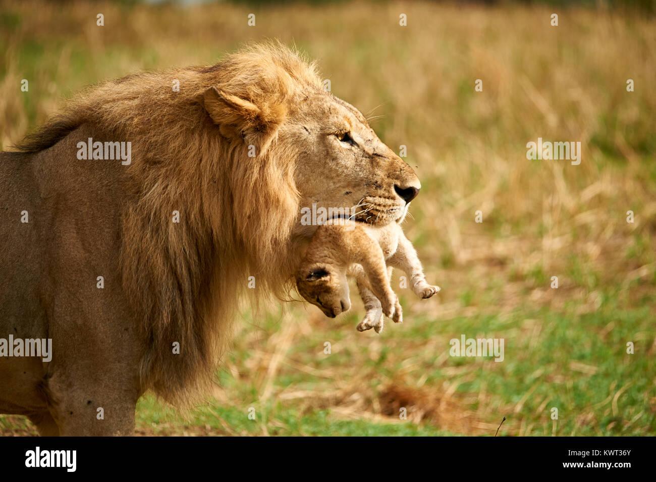 Lion mâle portant l'un de ses louveteaux Photo Stock