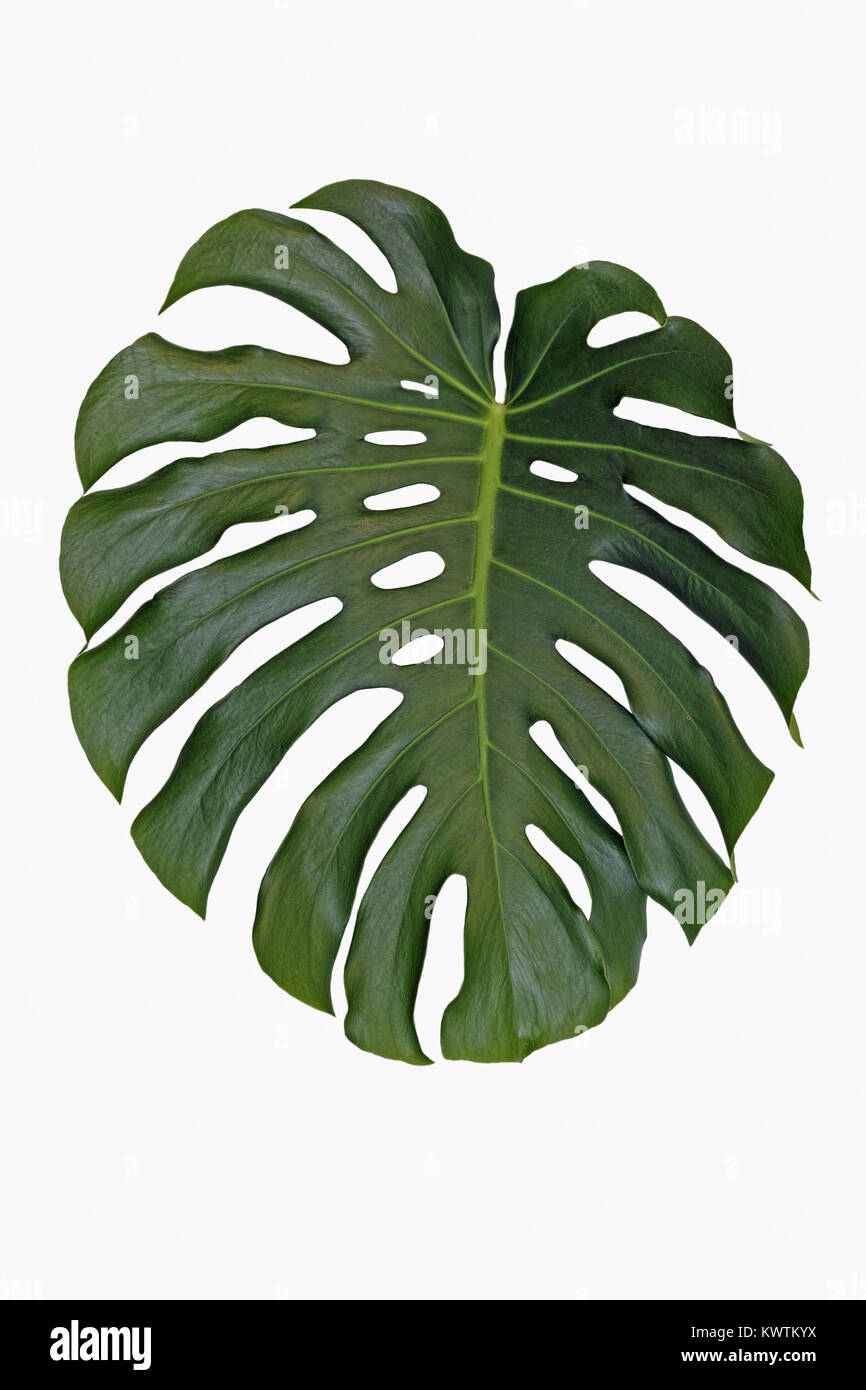 une feuille isol e de splitleaf philodendron monstera deliciosa banque d 39 images photo stock. Black Bedroom Furniture Sets. Home Design Ideas