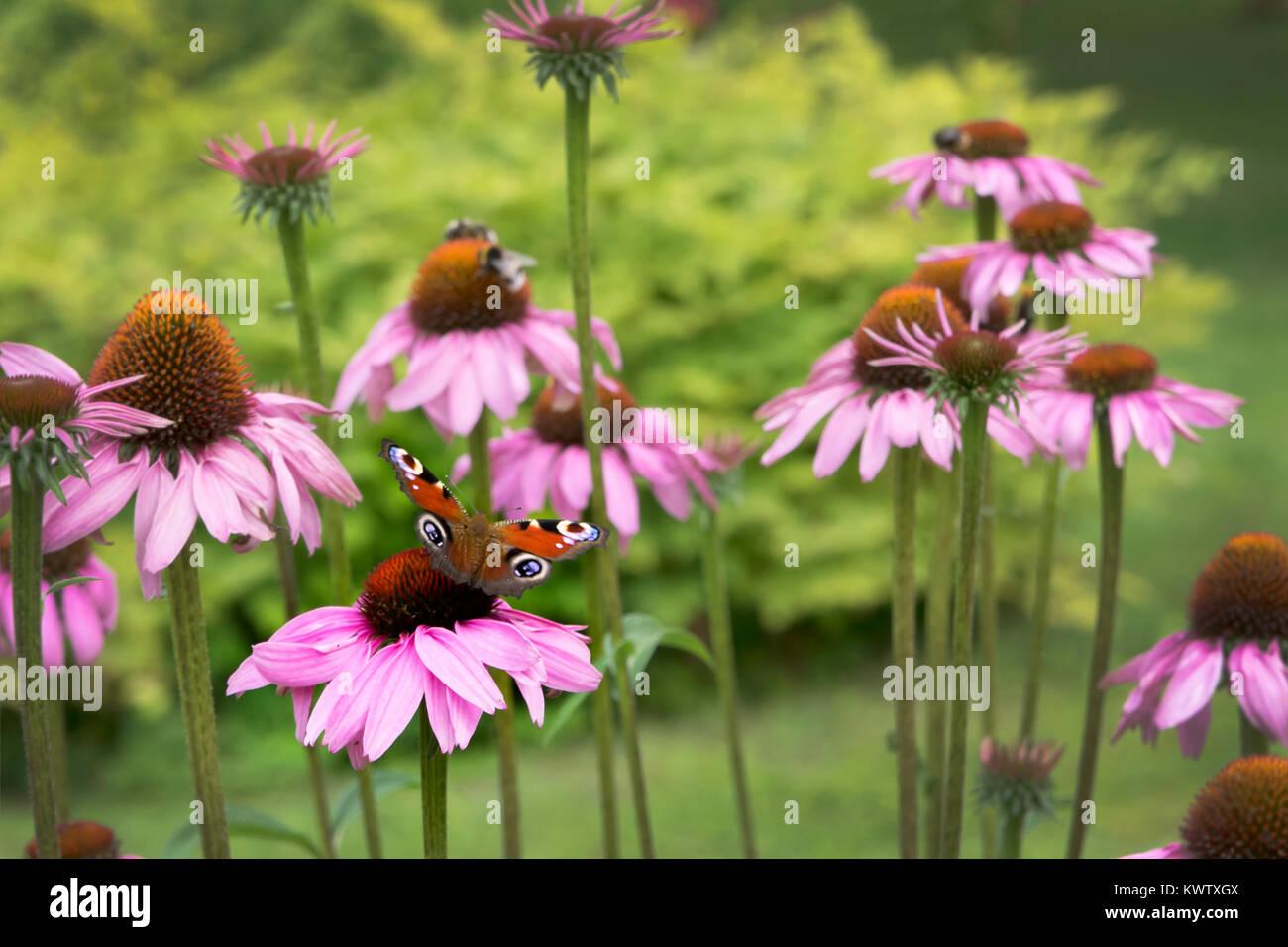 Echinaceas et papillon sur la belle journée d'été dans le jardin de l'Estonie Photo Stock