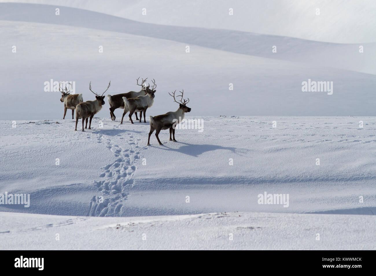 Un petit troupeau de rennes debout sur une colline couverte de neige en un jour d'hiver Photo Stock