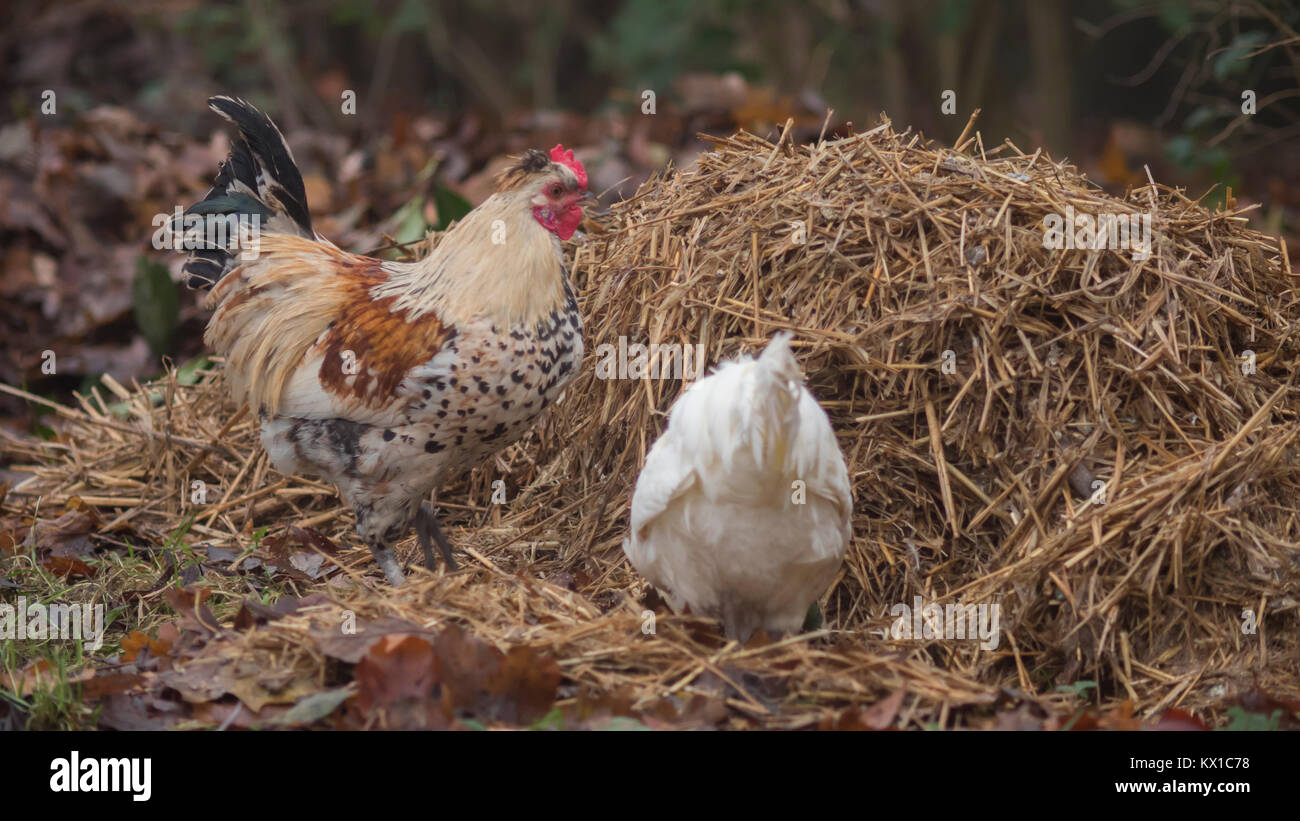 Poulets le pâturage dans le domaine agricole Photo Stock
