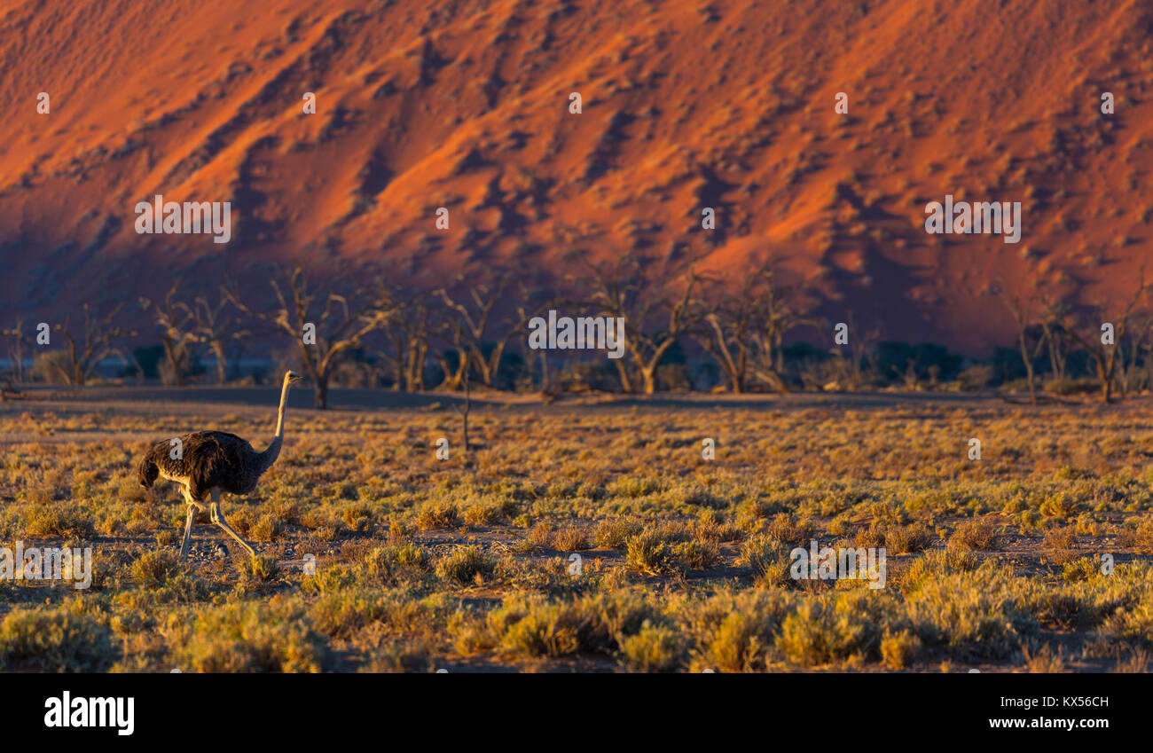 Ou d'Autruche autruche commune (Struthio camelus), le Parc National Namib Naukluft, Namibie, Afrique Photo Stock