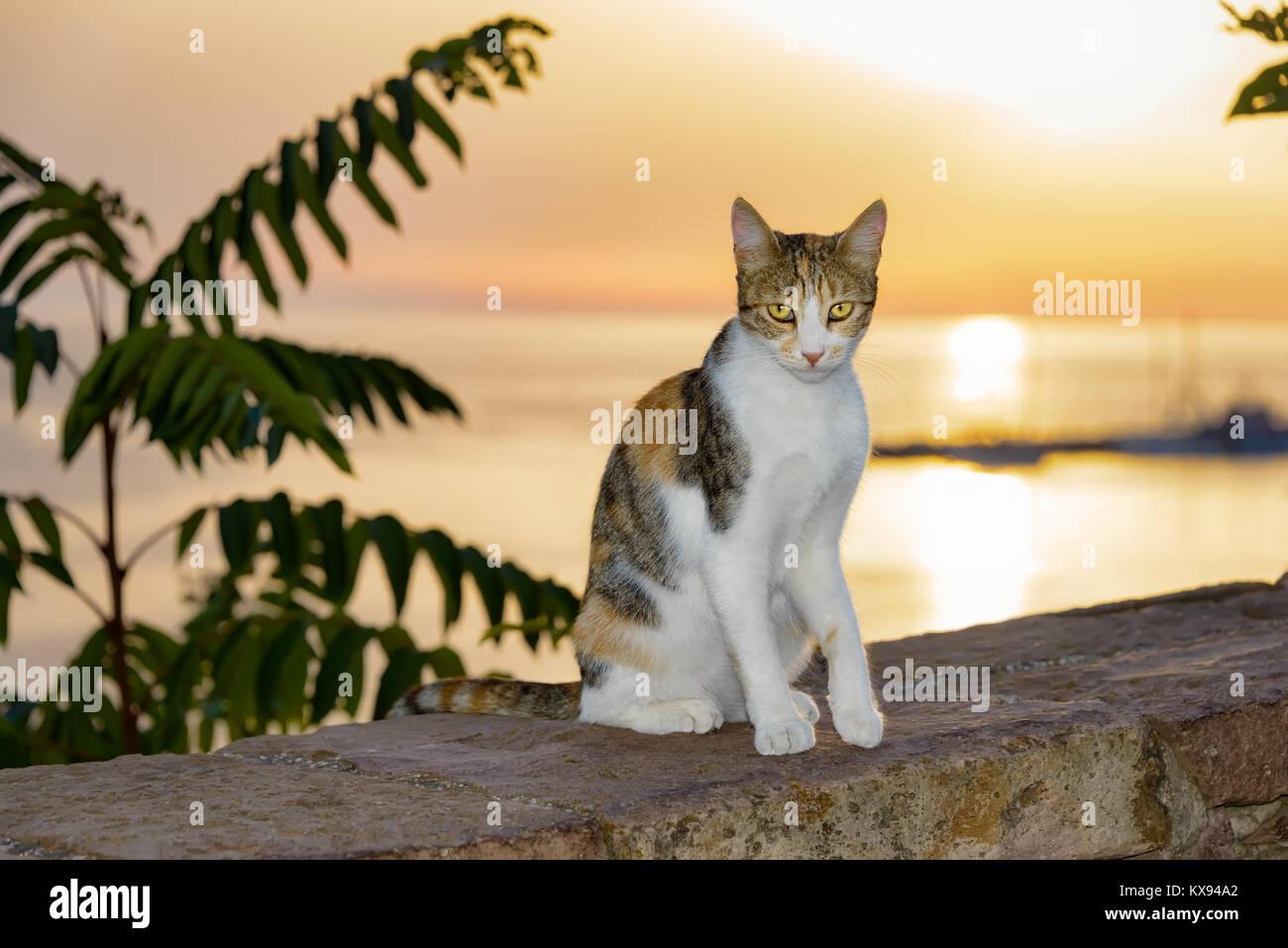 Chat, patched tabby et blanc fourrure, assis sur un mur au bord de la mer pendant le coucher du soleil magnifique, île de Lesbos, Grèce. Banque D'Images