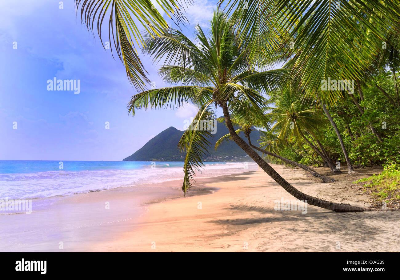 Les palmiers sur la plage des Caraïbes, la Martinique. Banque D'Images