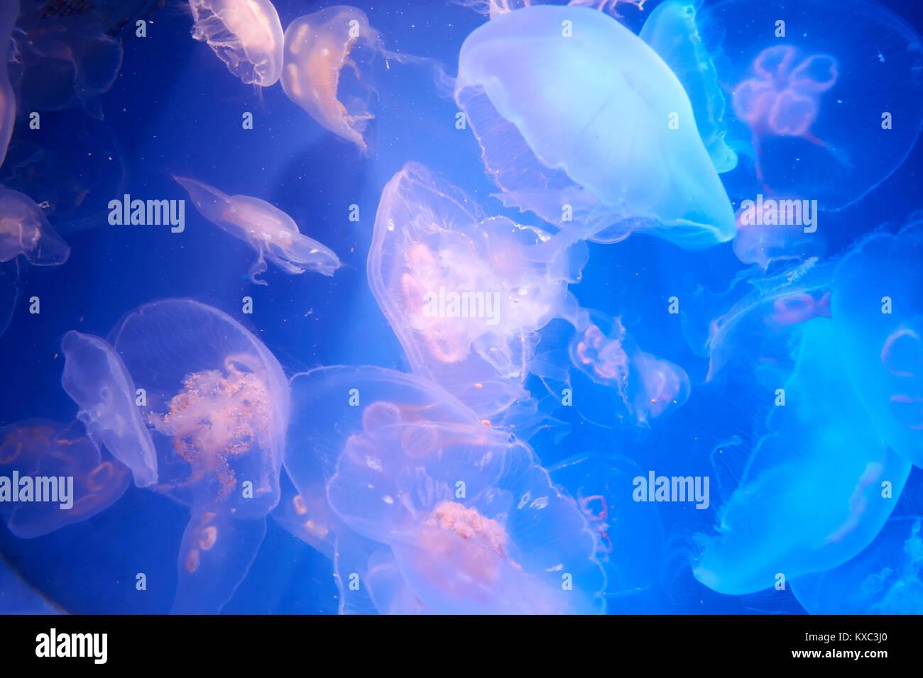 De nombreuses méduses translucides ou méduse ou l'ortie-poissons dansent dans l'eau bleue Photo Stock