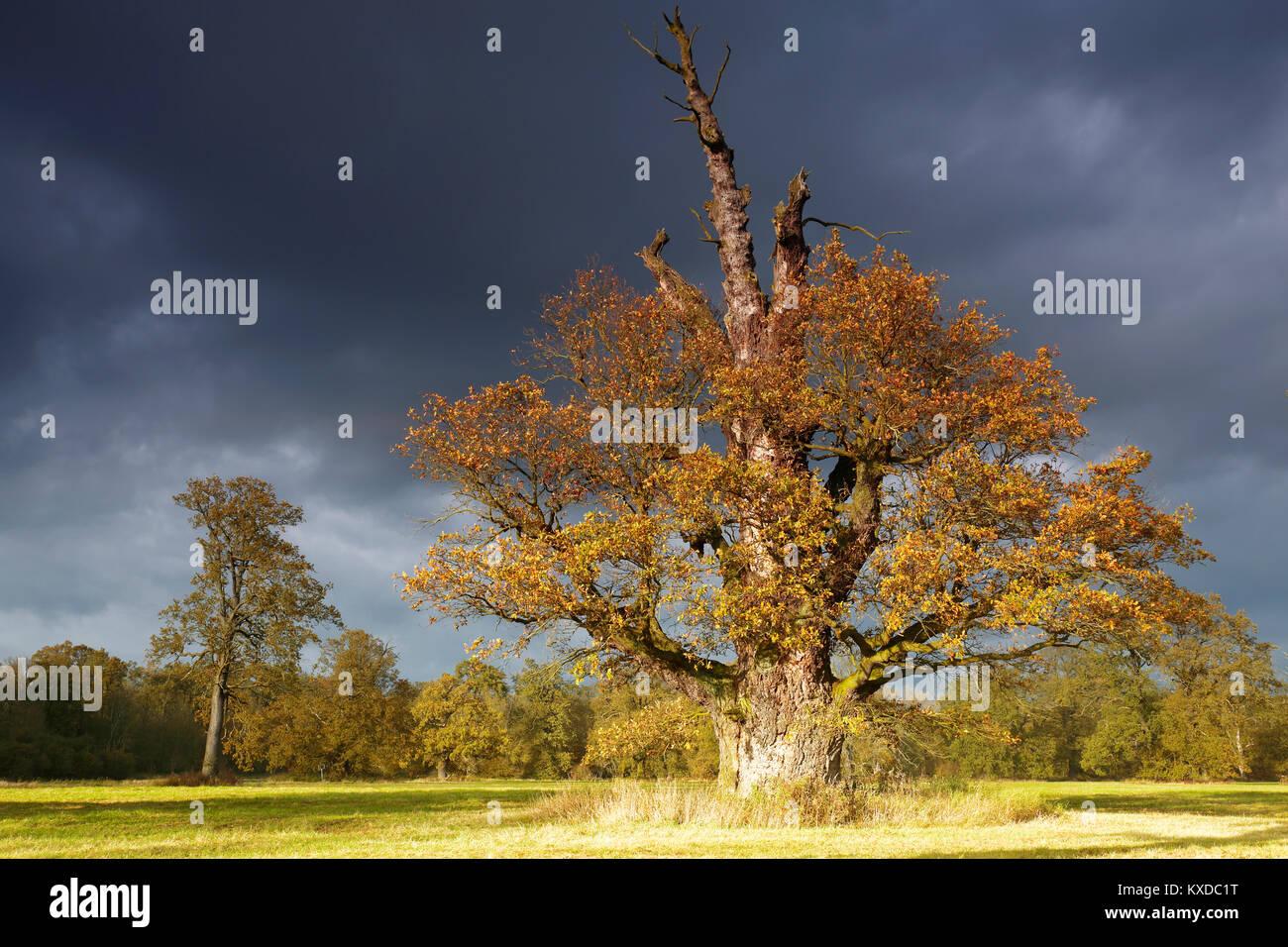 650 ans chêne pédonculé (Quercus robur) à l'automne, solitaire arbre, forêt alluviale, Photo Stock