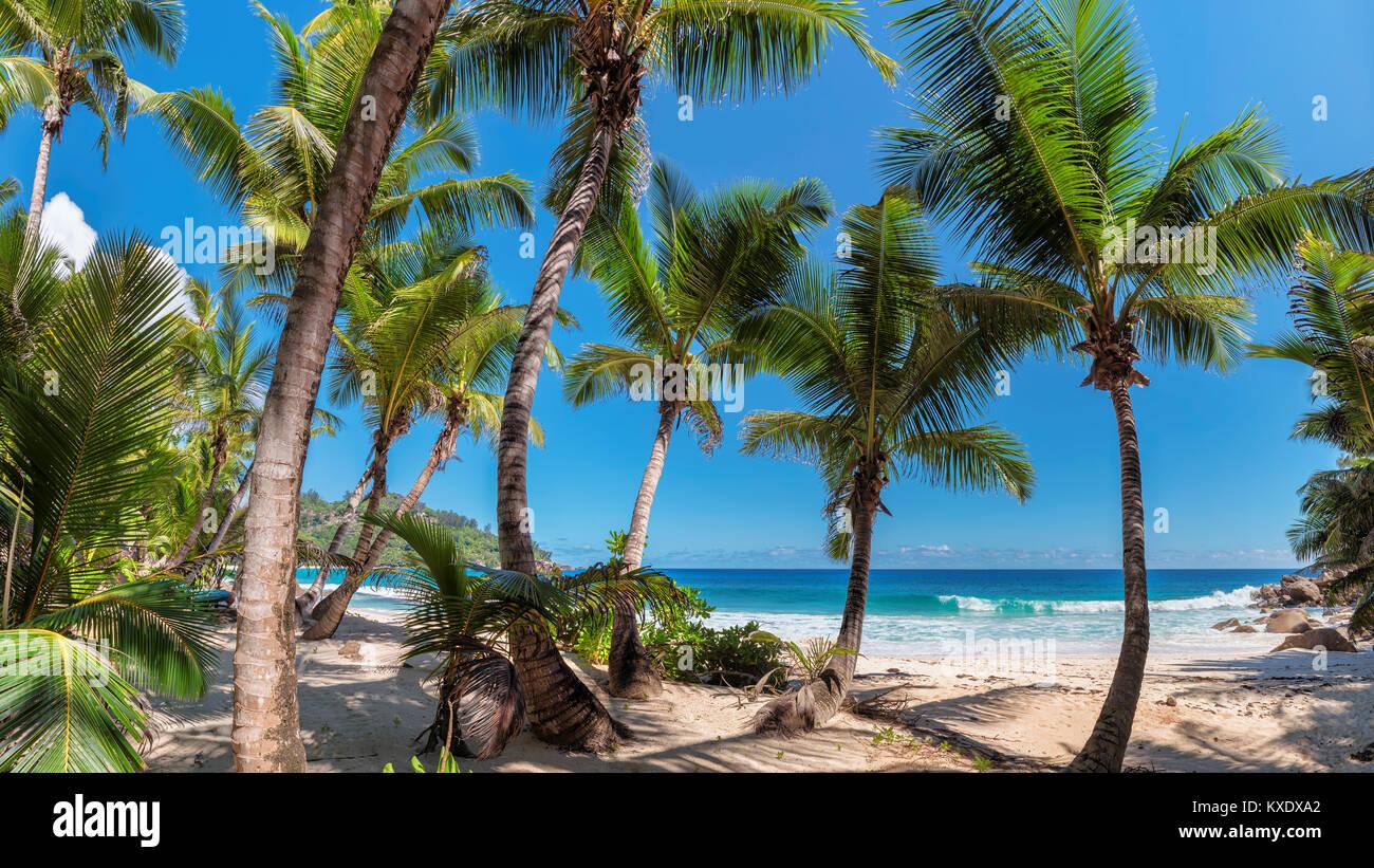 Beaux palmiers sur l'île tropicale de la Jamaïque. Photo Stock