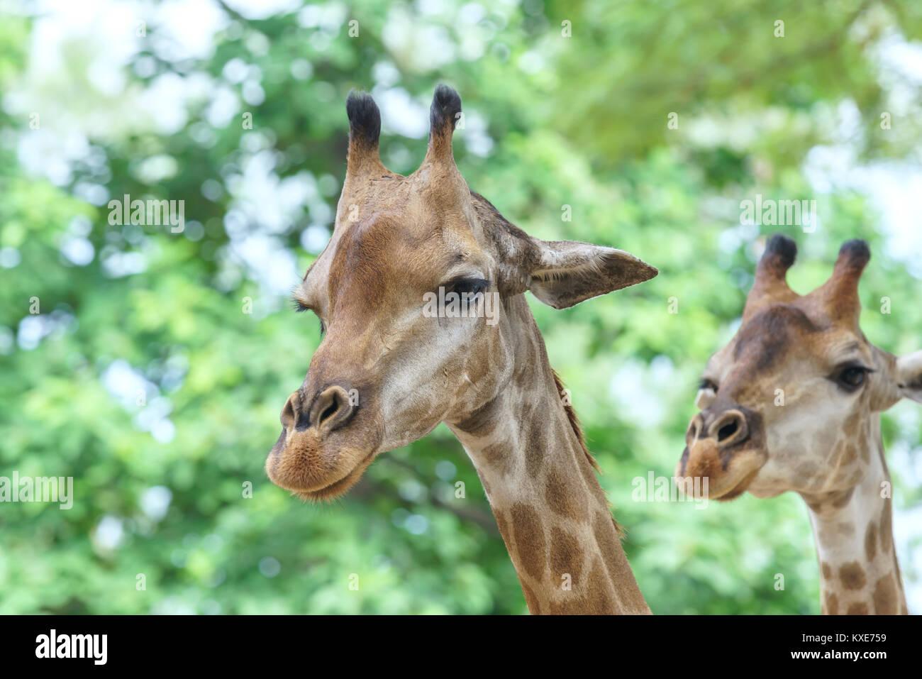 Portrait d'une girafe au long cou et tête drôle aide l'animal à trouver de la nourriture Photo Stock
