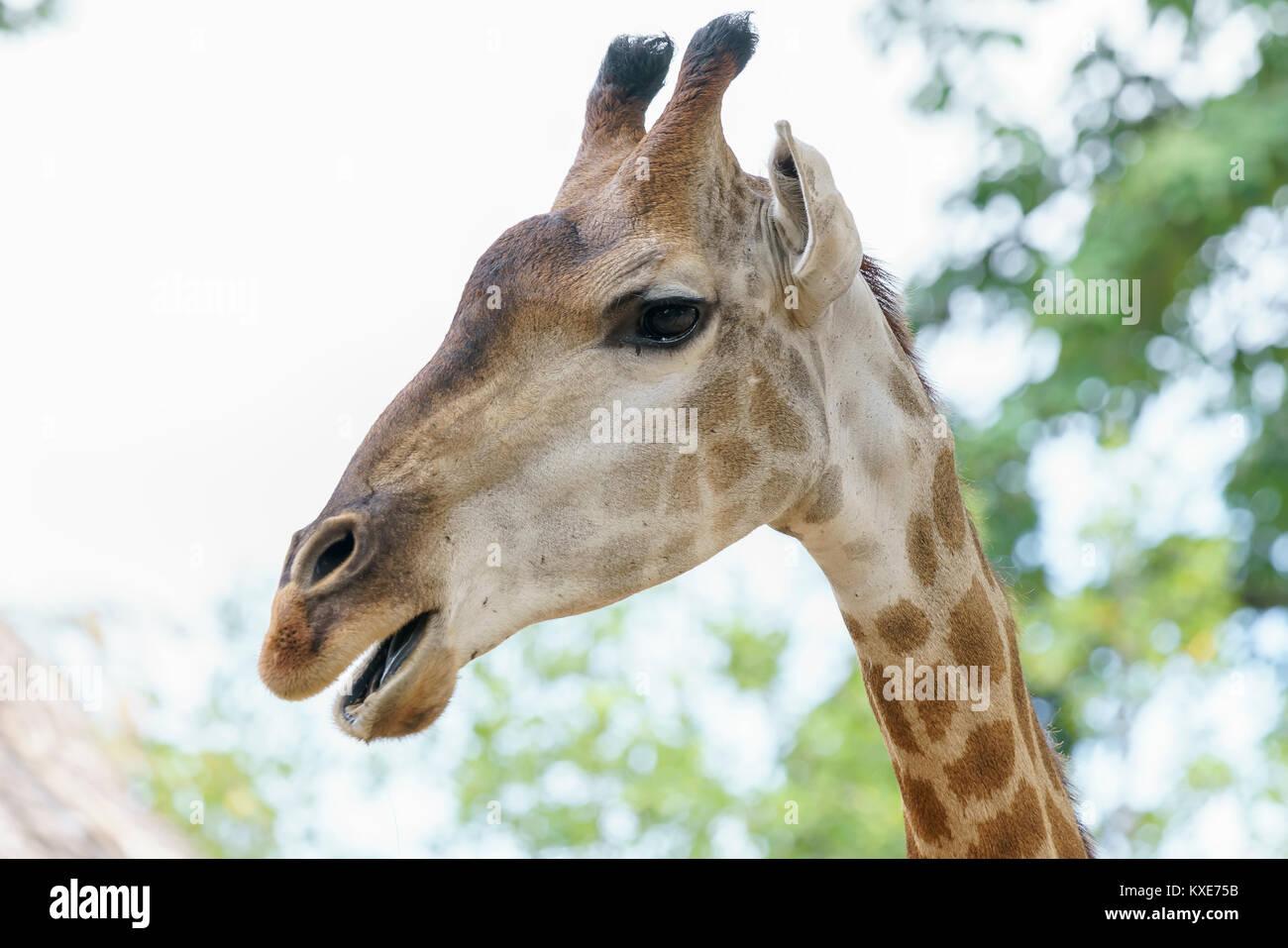 Portrait d'une girafe au long cou et tête drôle aide l'animal à trouver de la nourriture sur les branches hautes Banque D'Images