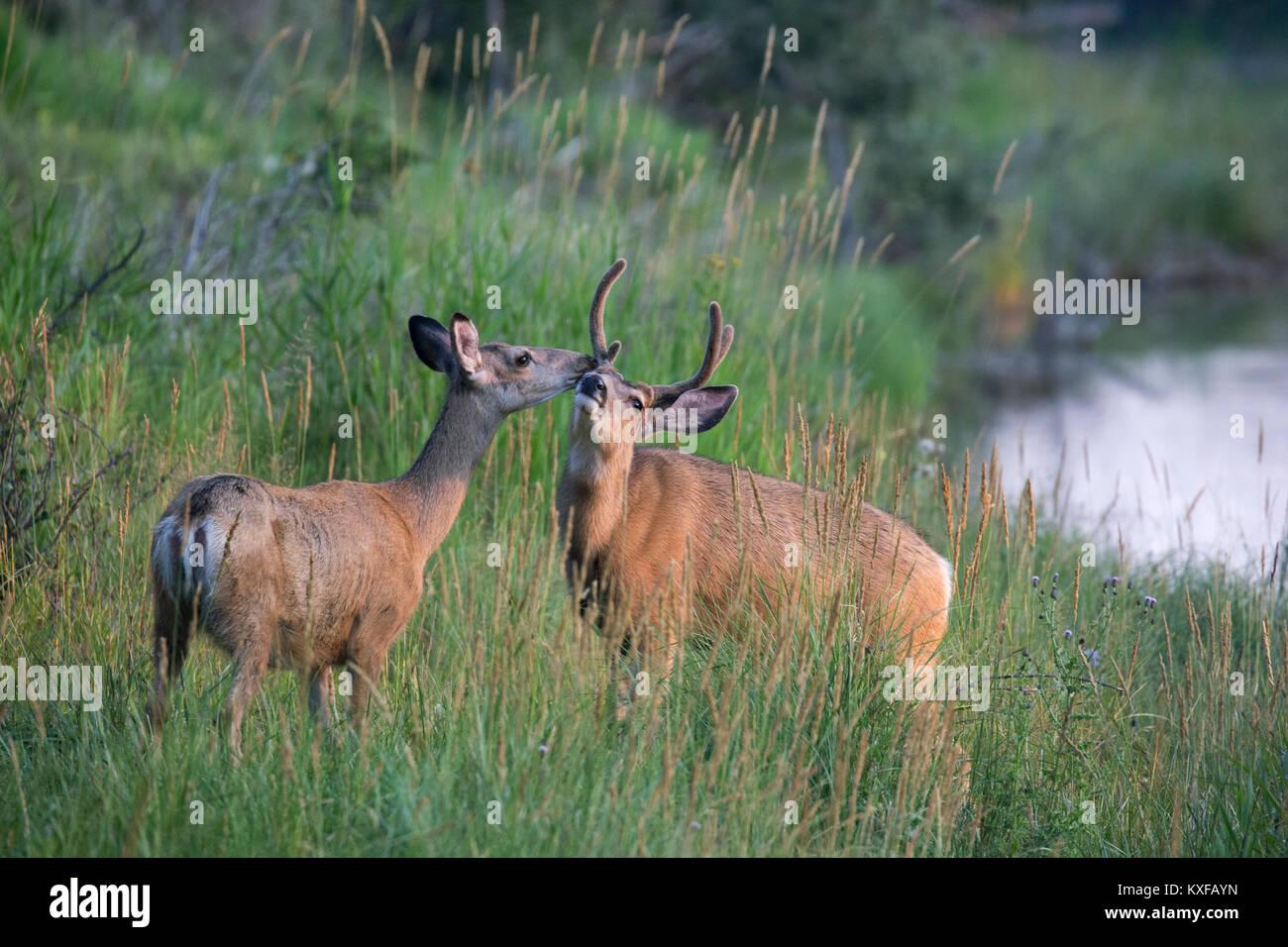 Le Cerf mulet biche et mâle de toucher le nez (Odocoileus hemionus) Photo Stock