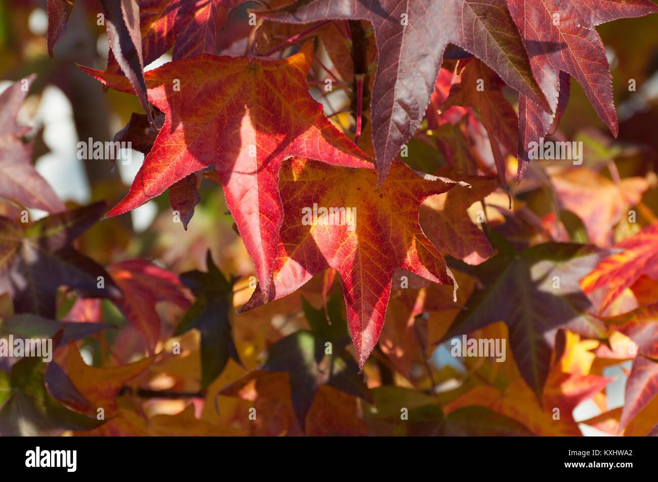 liquidamber arbre avec la feuille rouge banque d'images, photo stock