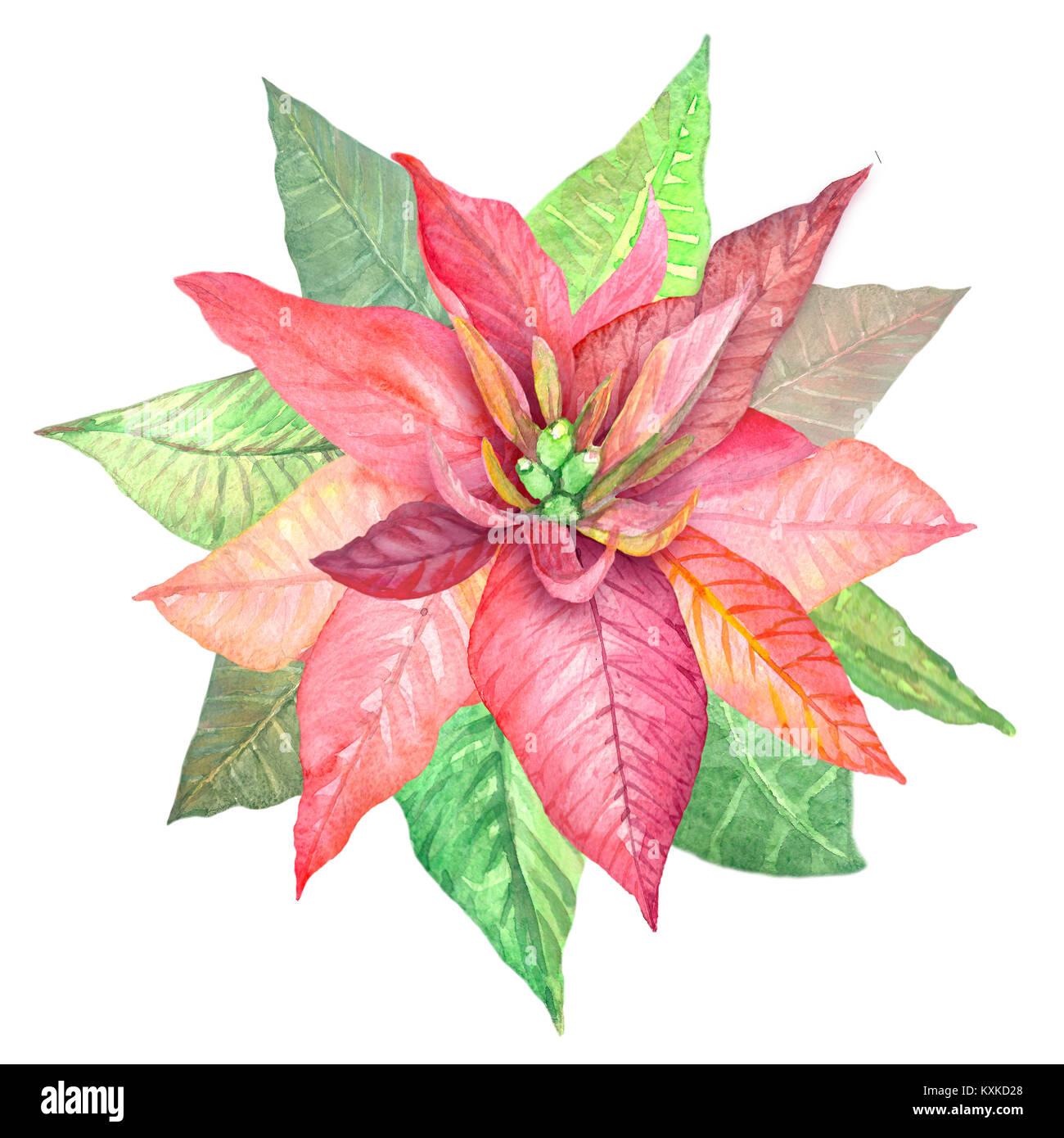 Aquarelle Fleurs Poinsettia Illustration De Plantes Botaniques