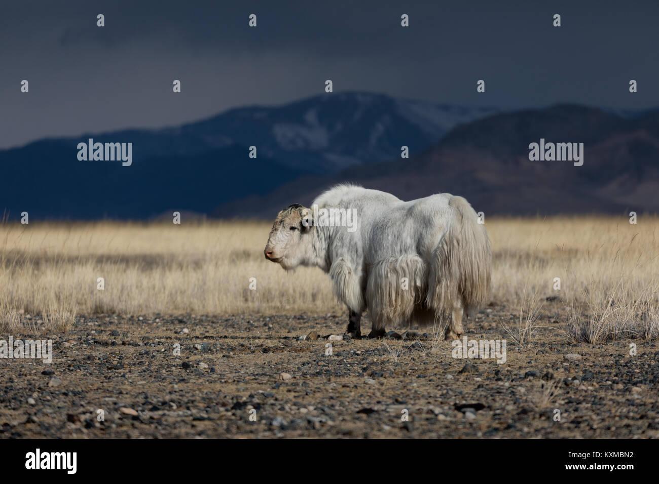 Yak blanc d'hiver des plaines des Prairies steppes de Mongolie Mongolian bull vache Photo Stock
