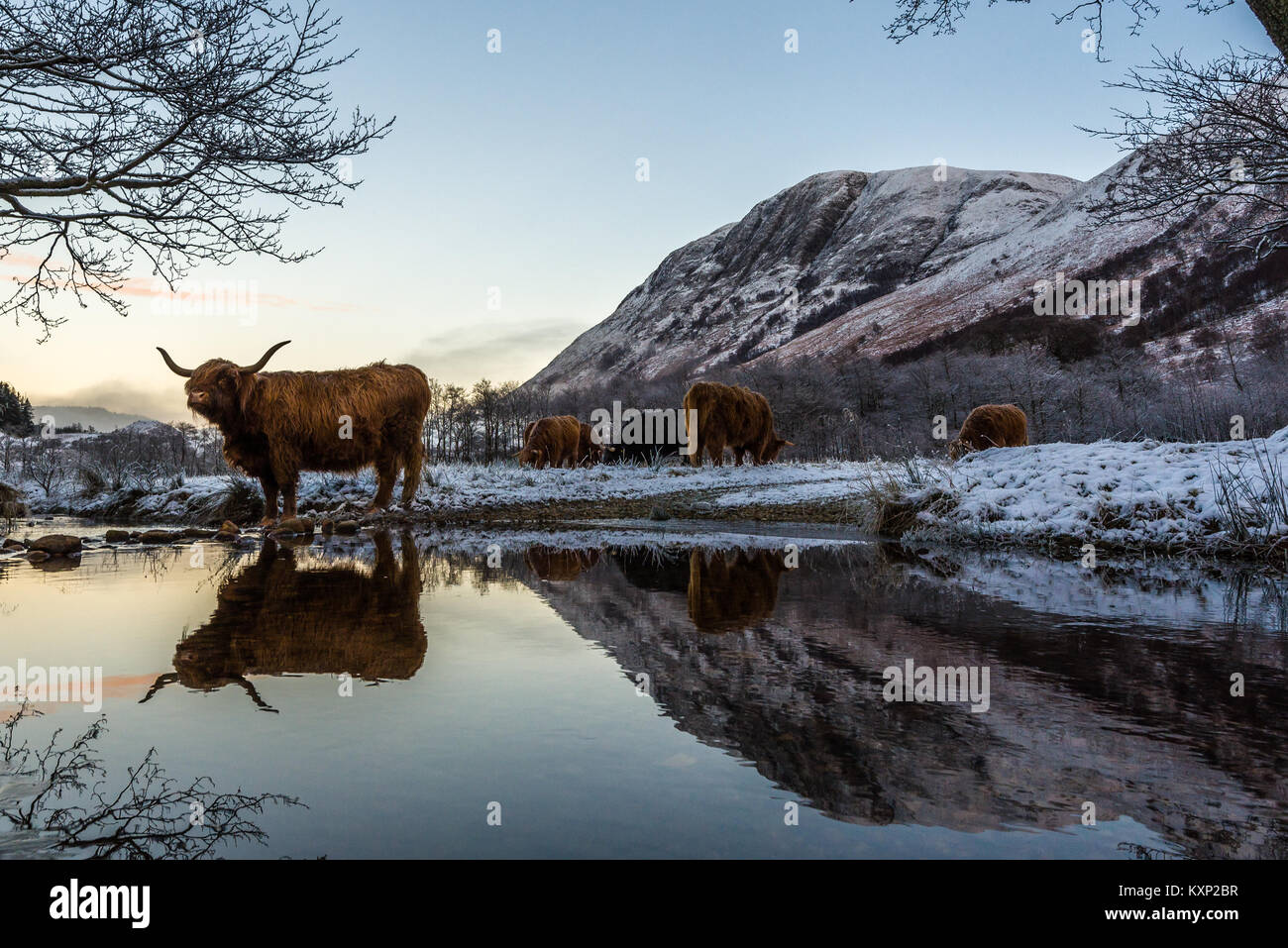 En hiver, les vaches Highland Photo Stock