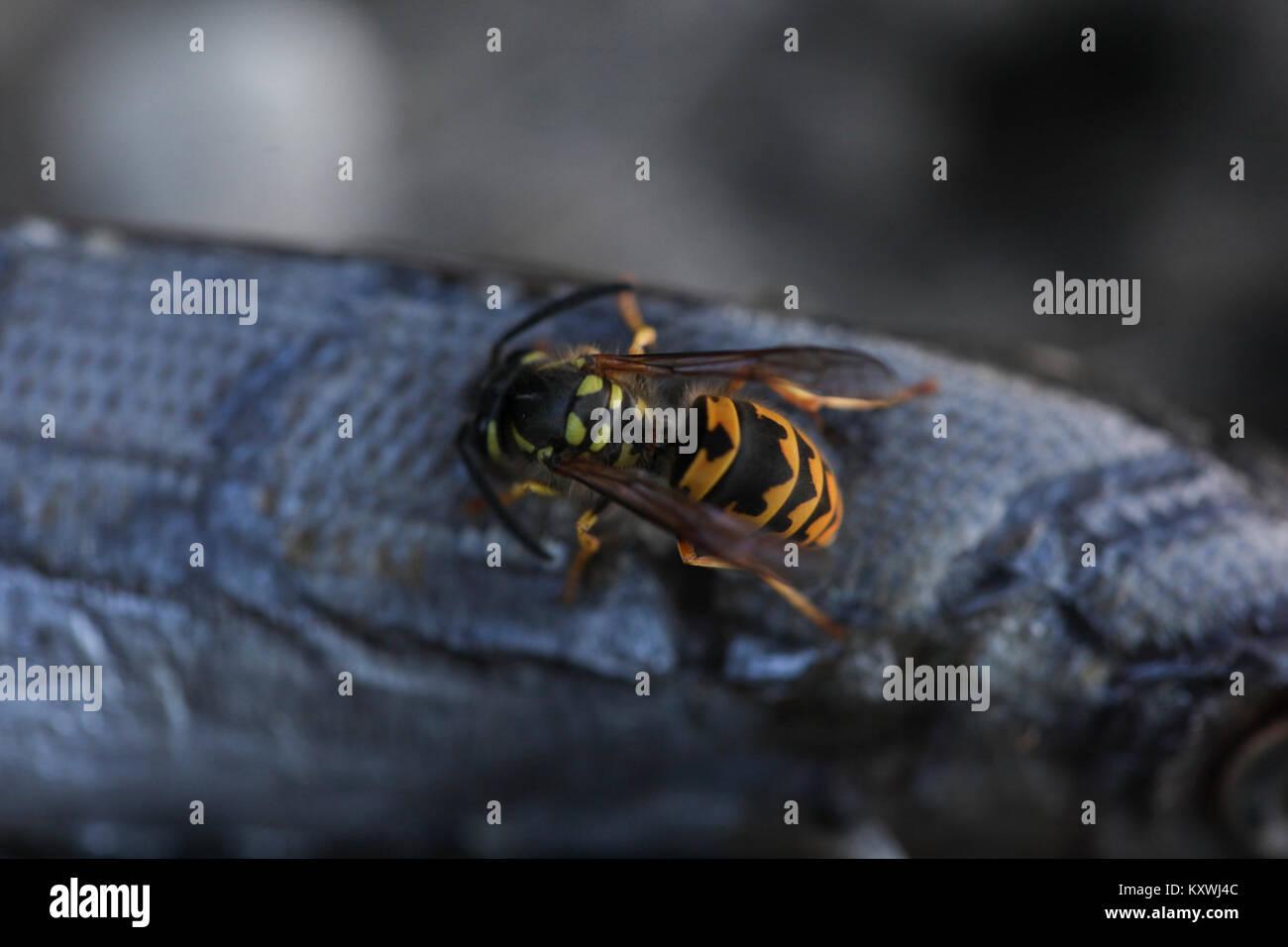 Wasp de manger un poisson mort Photo Stock