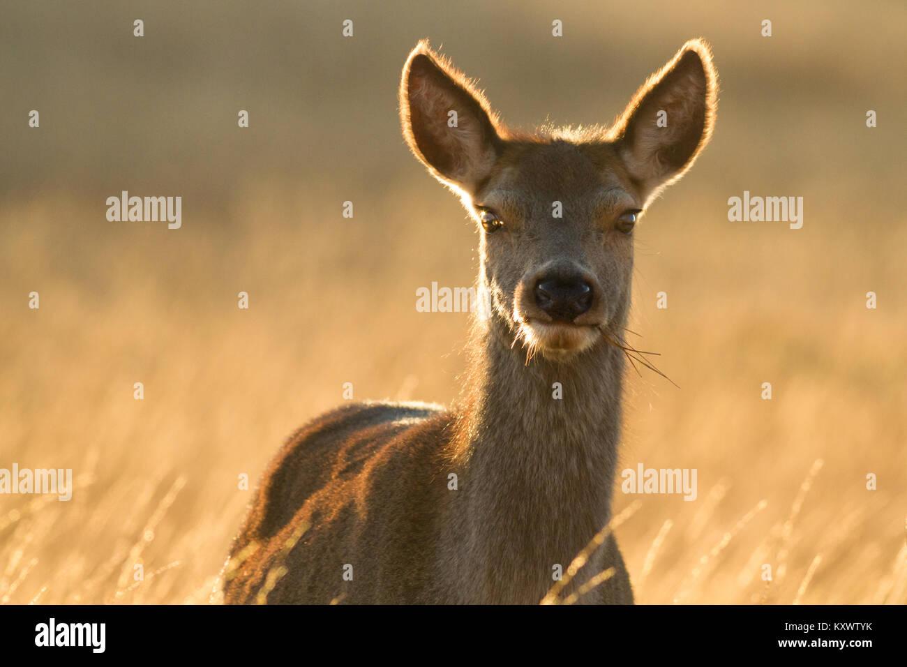 Gros plan d'une superbe wild red deer dans la belle lumière du soleil sur l'île d'Islay Photo Stock