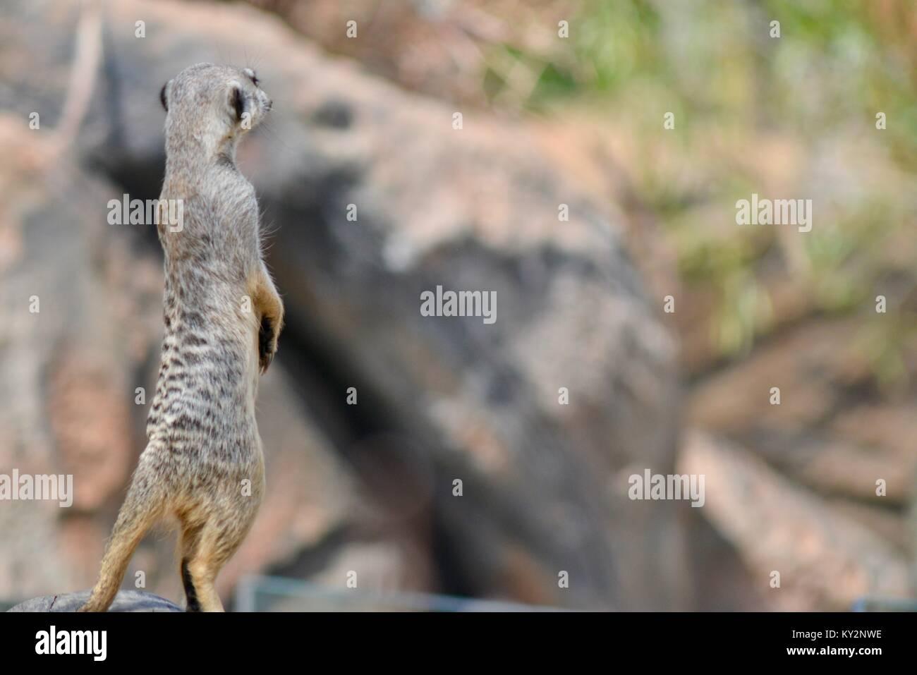 Meerkat Zoo de l'Australie, Queensland, Australie, Beerwah Photo Stock