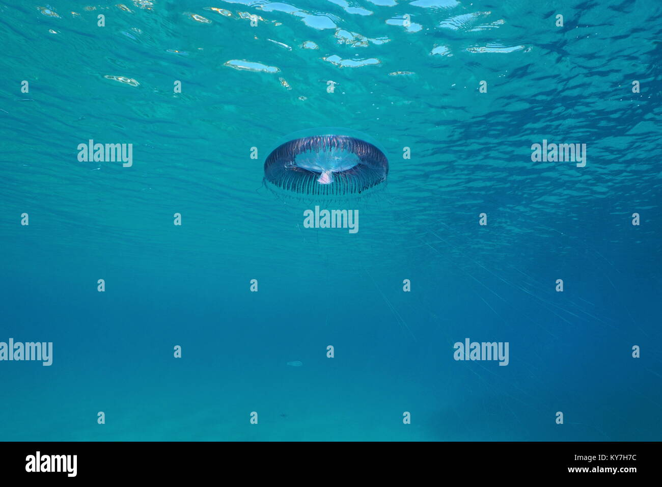 Les méduses Aequorea Sp. sous la surface de l'eau dans la mer Méditerranée, l'Espagne, Costa Photo Stock