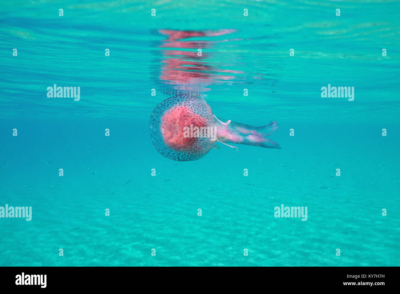 Les méduses sous surface de l'eau dans la mer Méditerranée, mauves Pelagia noctiluca stinger, Photo Stock