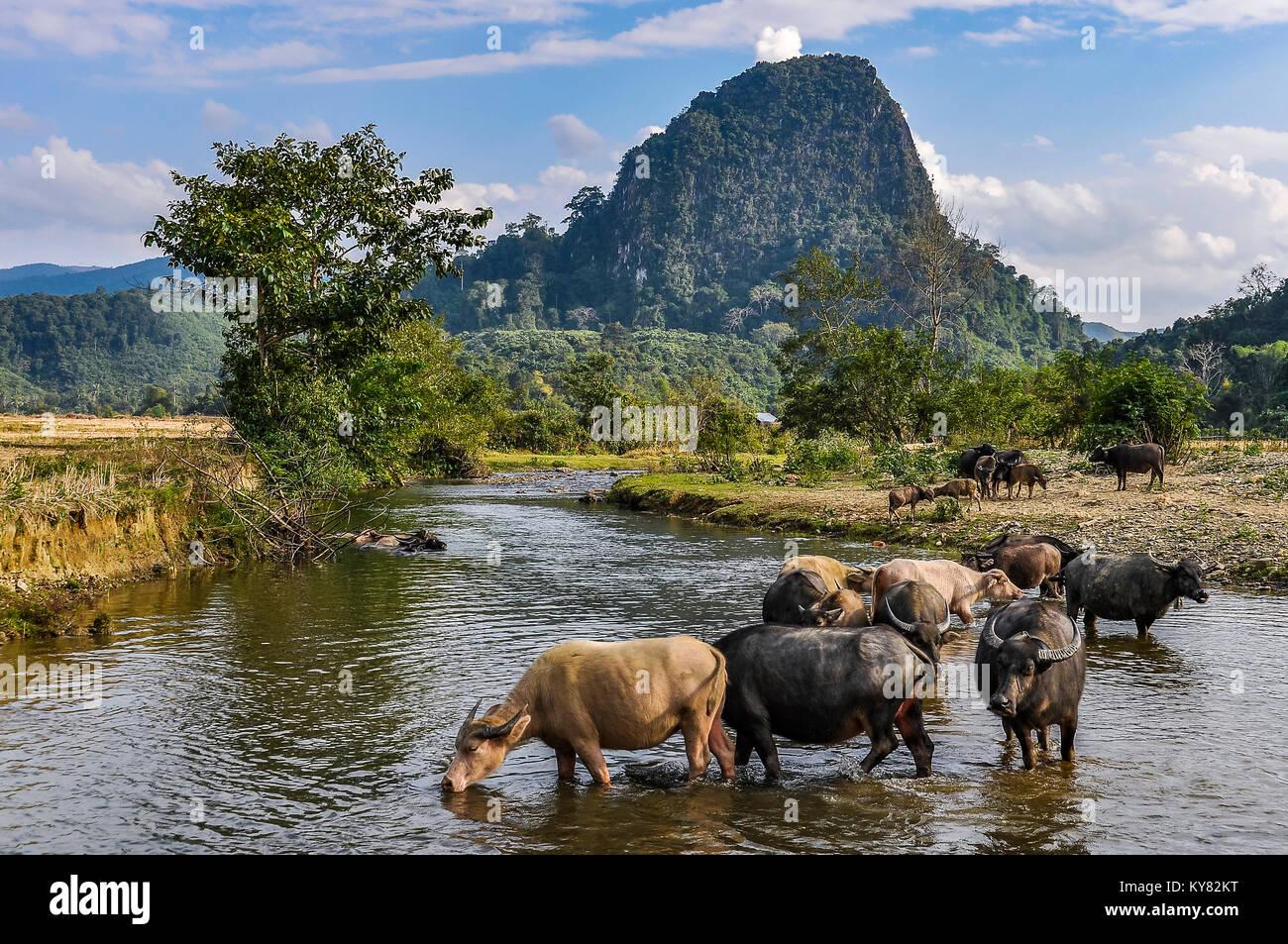 Les buffles d'eau dans le village de Muang Ngoi dans le Nord du Laos Photo Stock