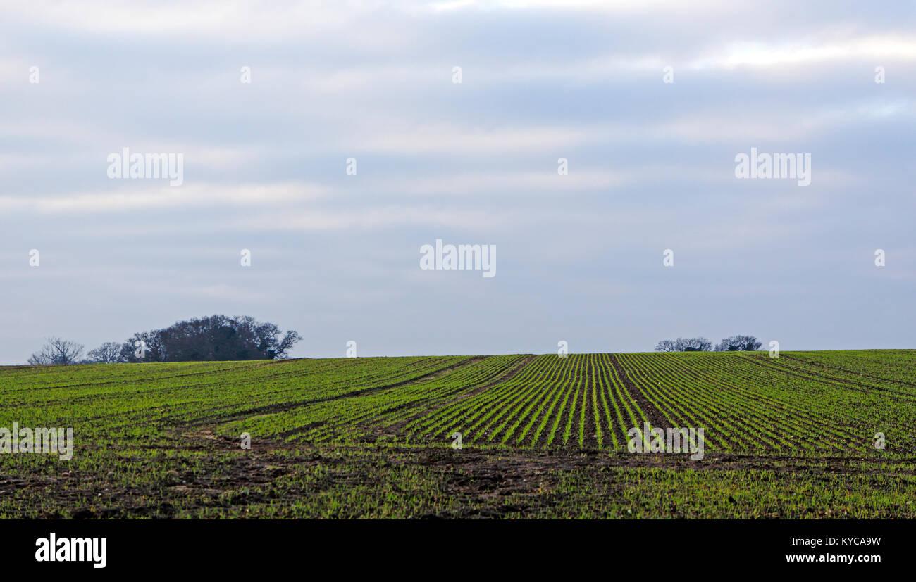 Une récolte de céréales d'hiver de pionnier, dans une ferme de Norfolk, Angleterre, Royaume-Uni, Europe. Banque D'Images