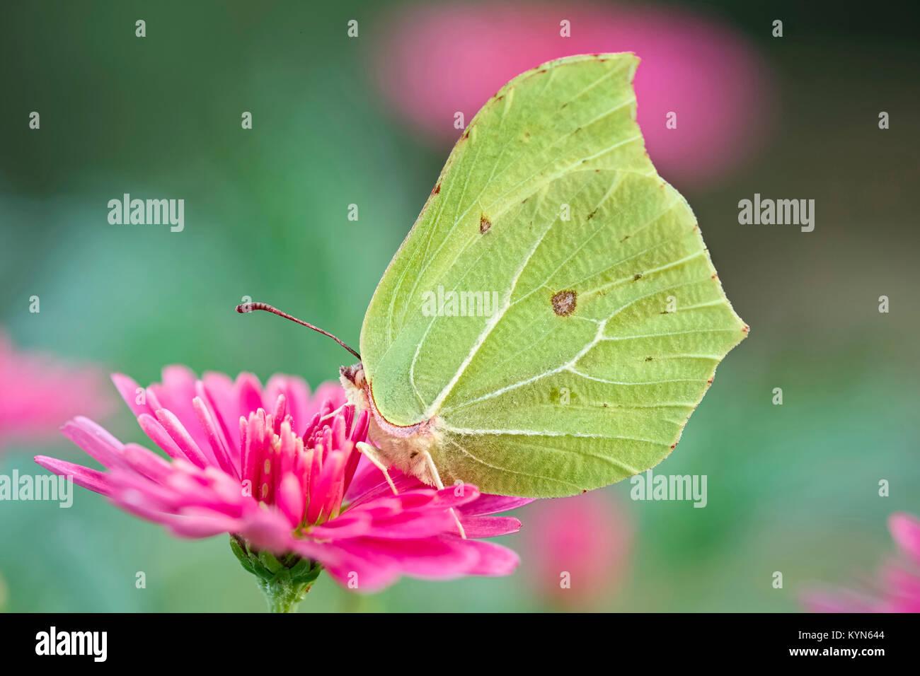 Brimstone Butterfly resting on Marguerite - Gonepteryx rhamni fleurs Daisy Photo Stock